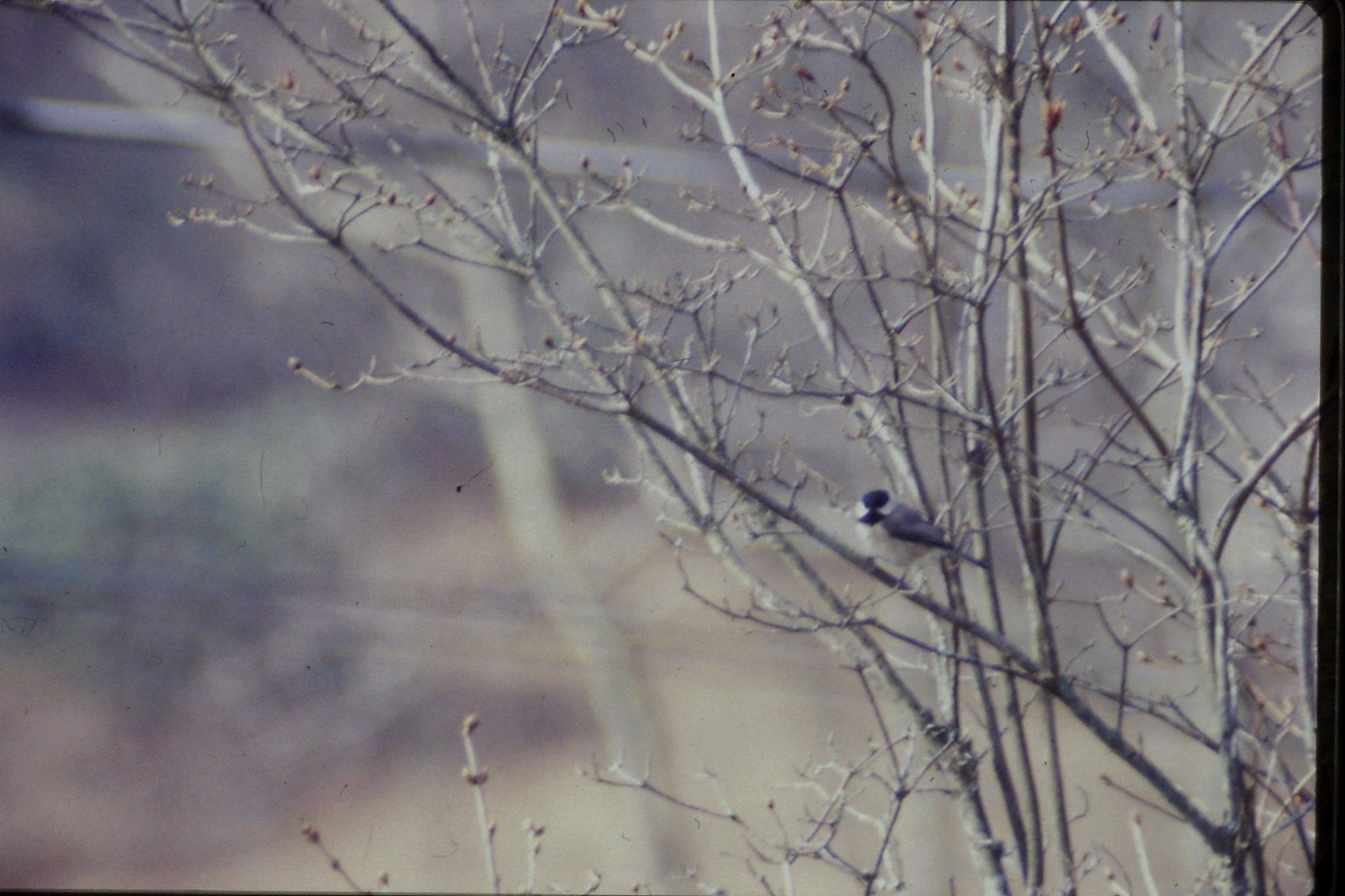 17/3/1991: 23: Benge Gap, chickadee