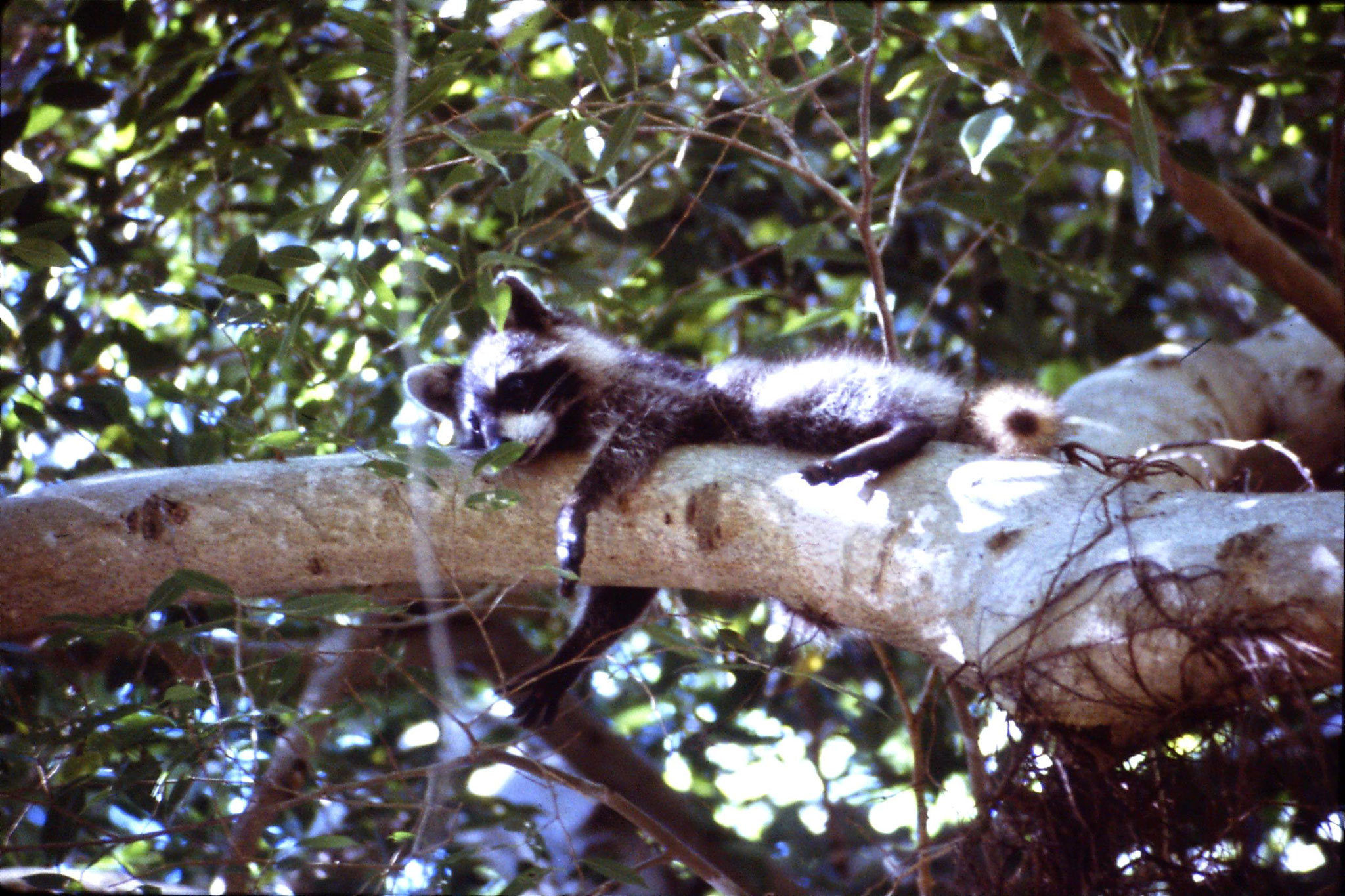 8/3/1991: 4: Key Biscayne raccoon