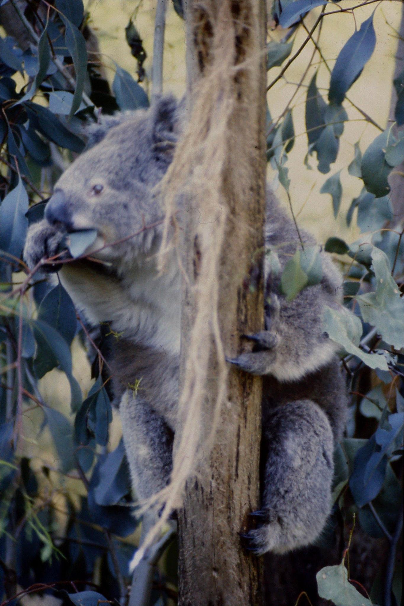 4/10/1990: 22: Healesville  Sanctuary, koalas