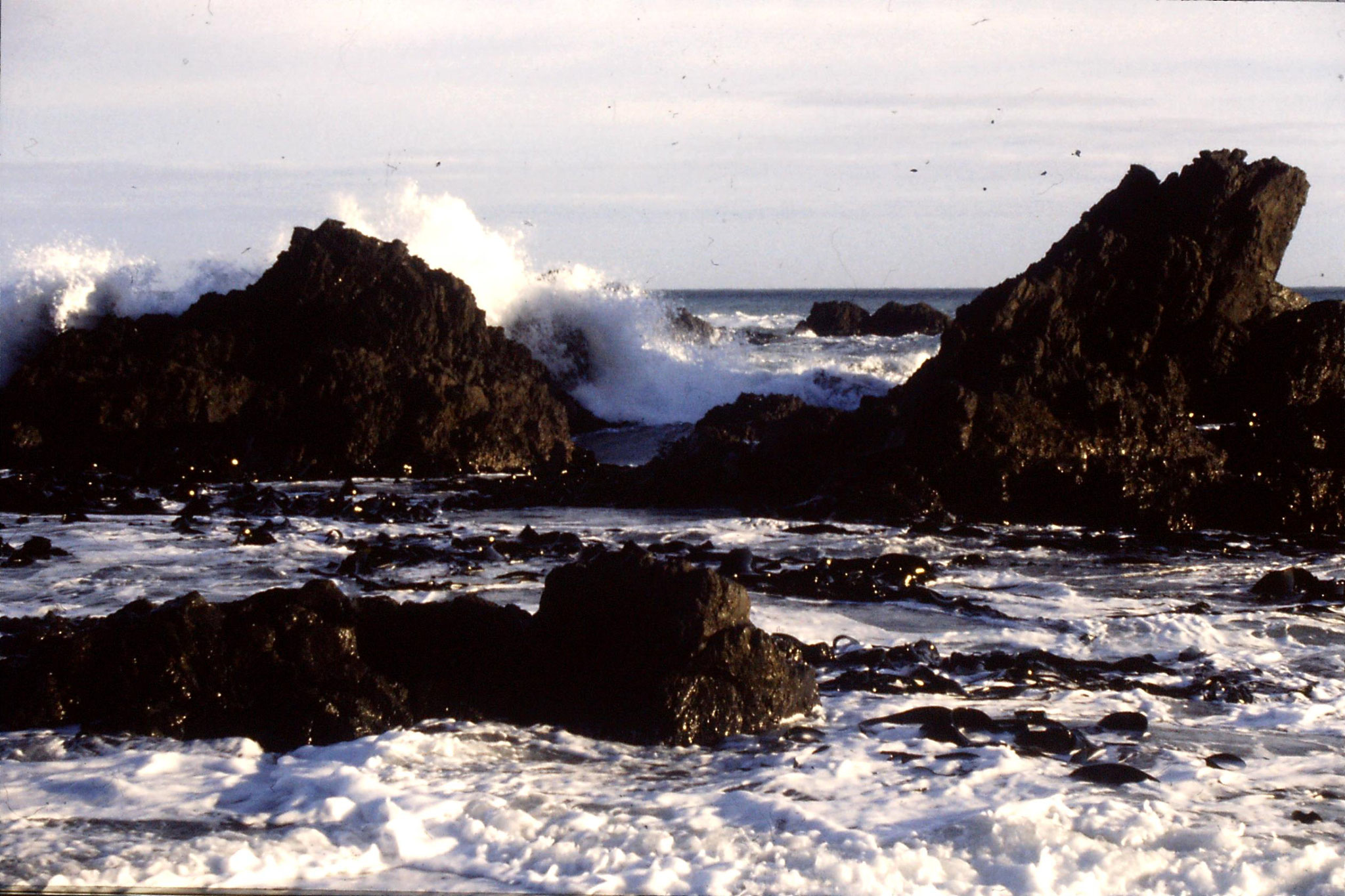 26/8/1990: 14:  kelp near Cape Palliser
