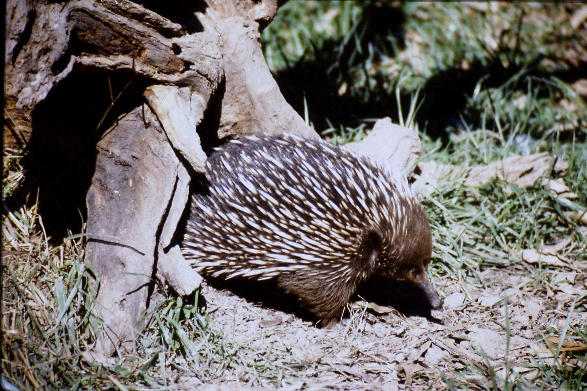 4/10/1990: 16: Healesville  Sanctuary, echidna