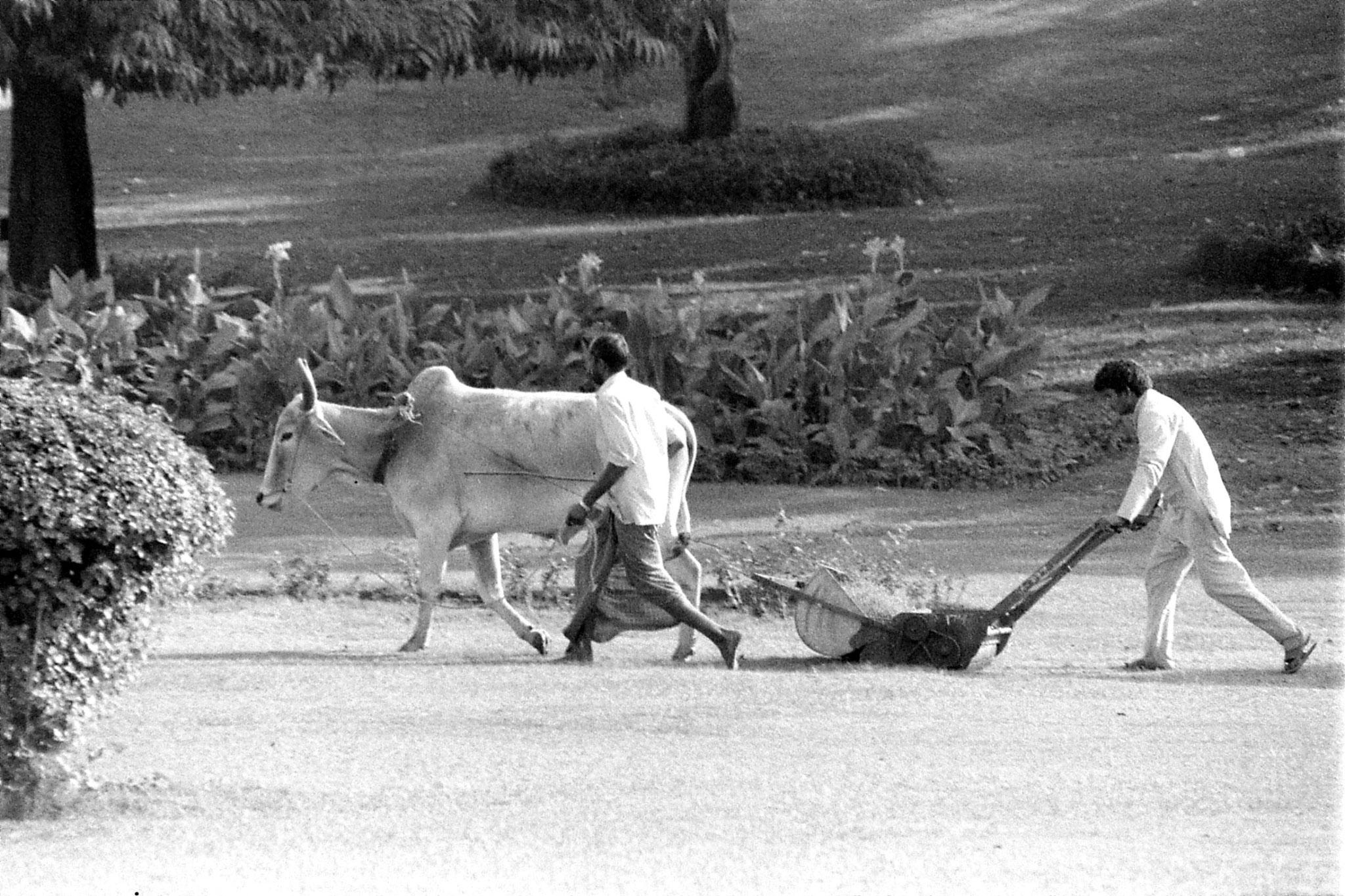 24/11/1989: 19: New Delhi Raj Ghat bullock lawn mower