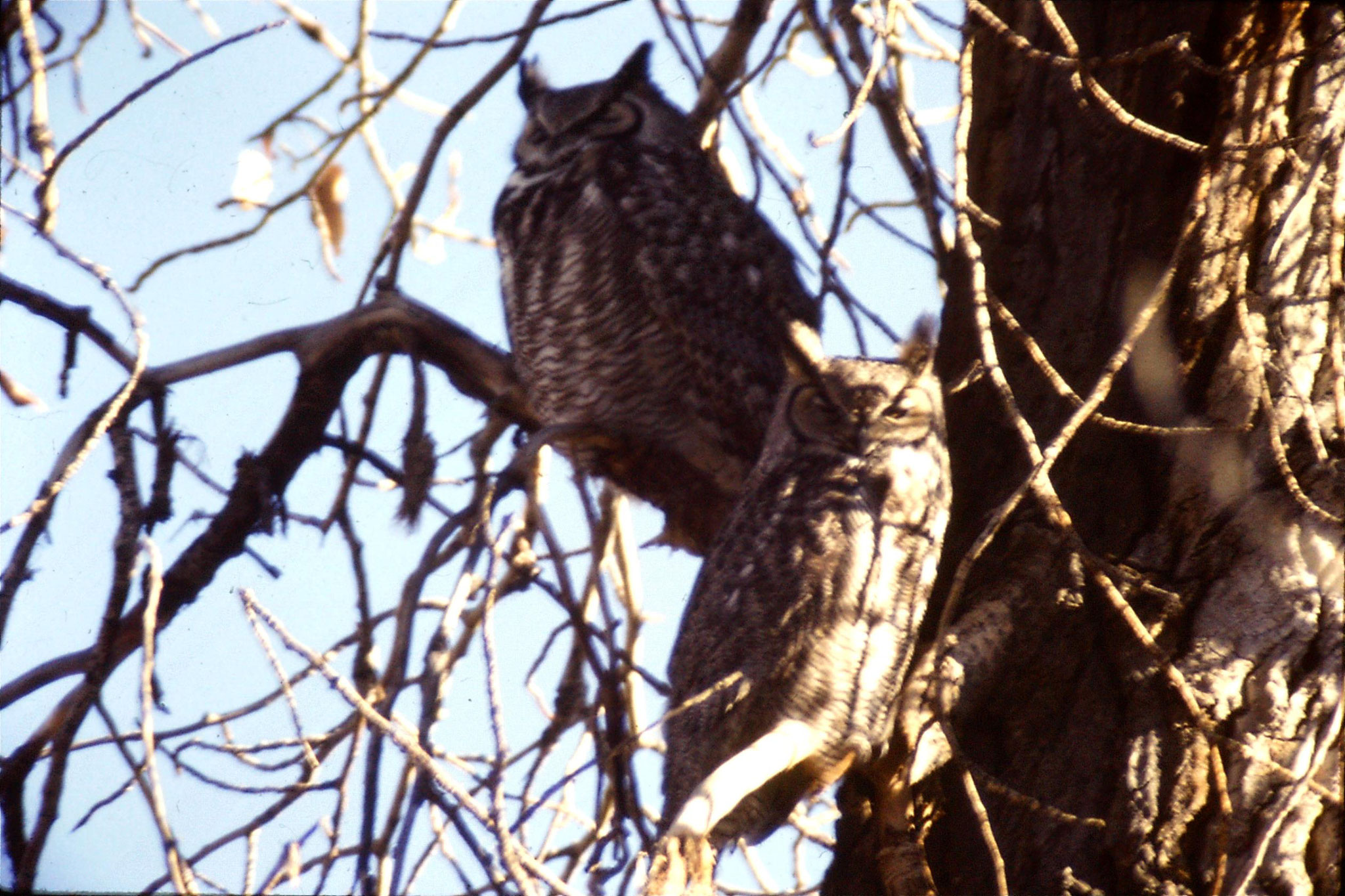23/1/1991: 26: Gt Horned owls