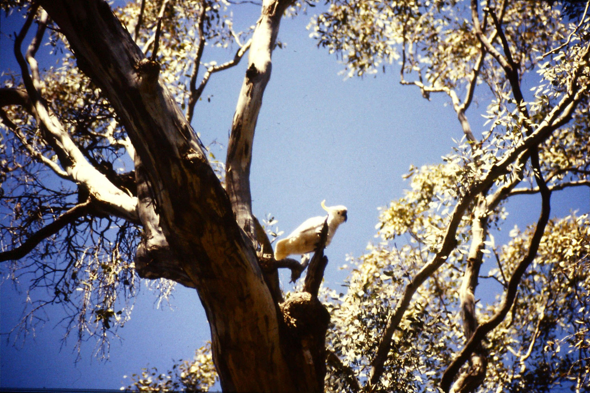 27/9/1990: 25: Eildon, cockatoo