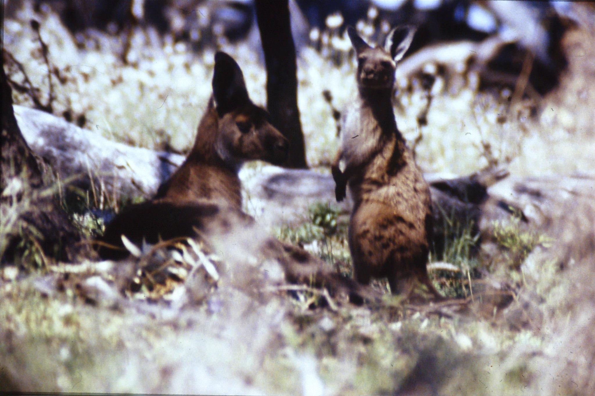 24/9/1990: 11: Hattah Kulkyne, red kangaroos
