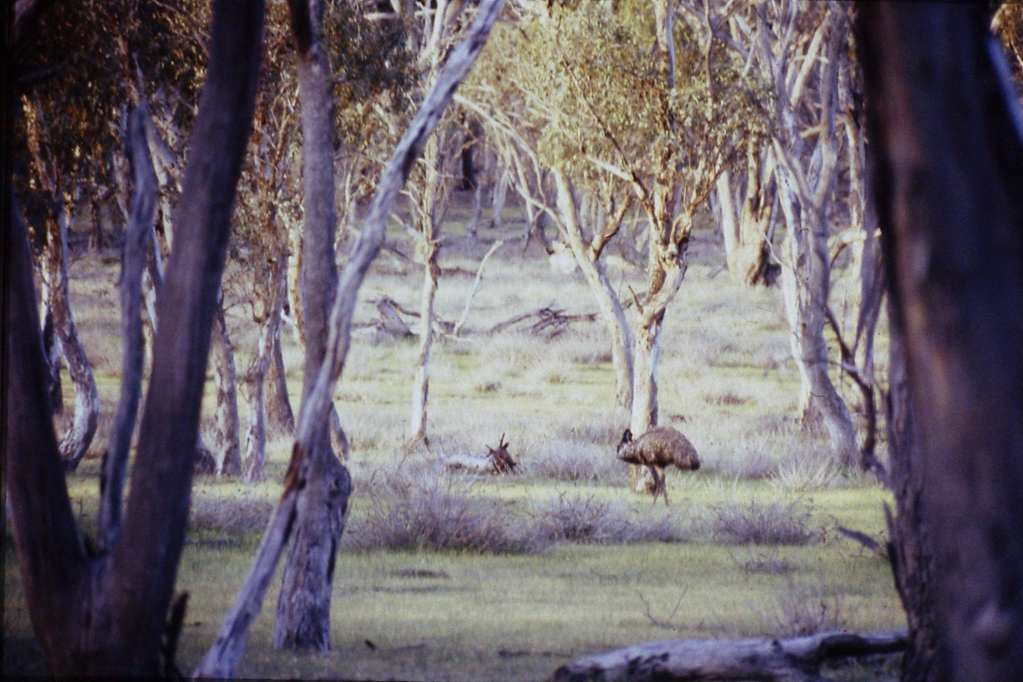 23/9/1990: 2: Wyperfeld, emu