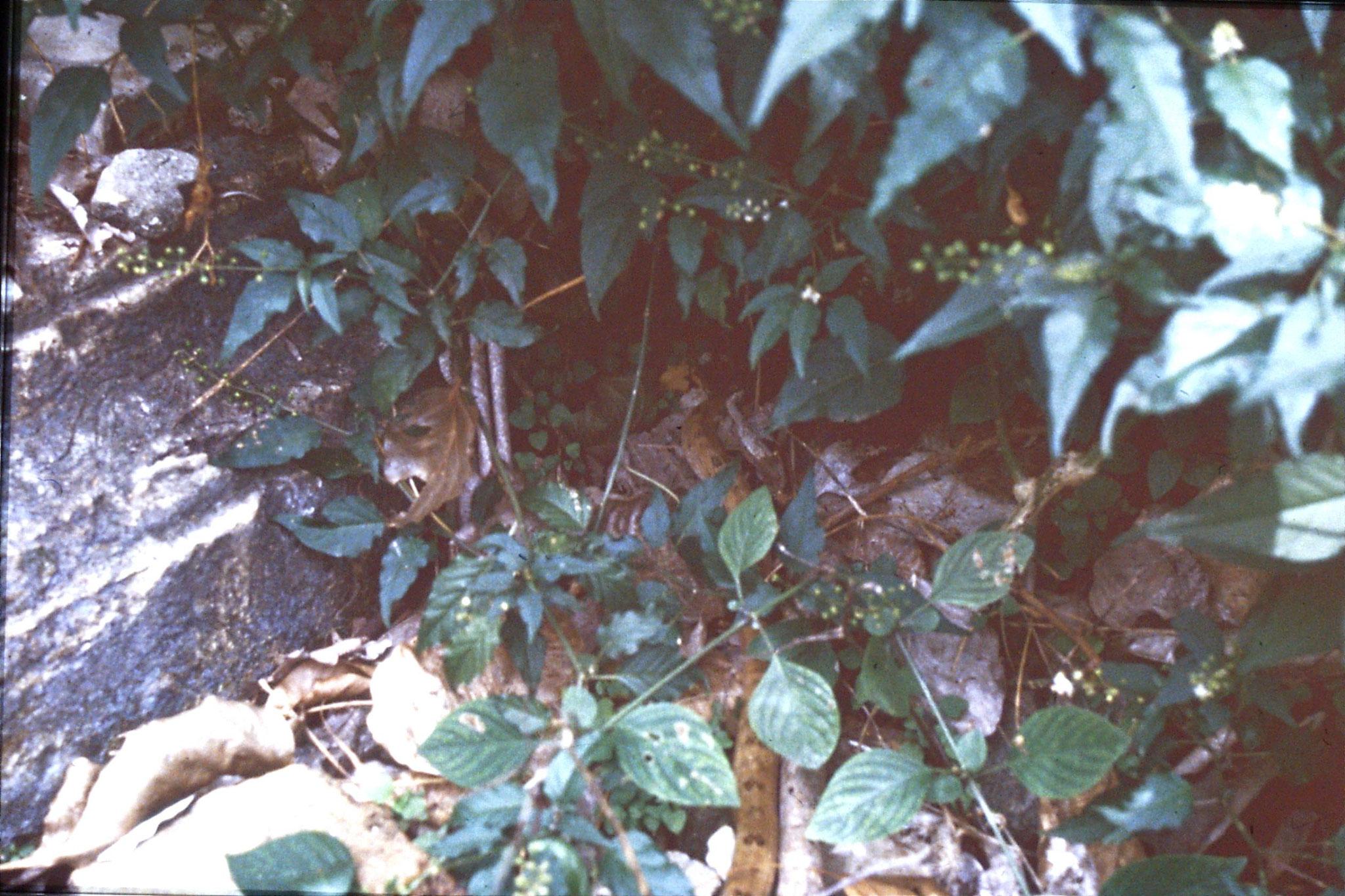 15/6/1990: 6: Ayuttaya snake