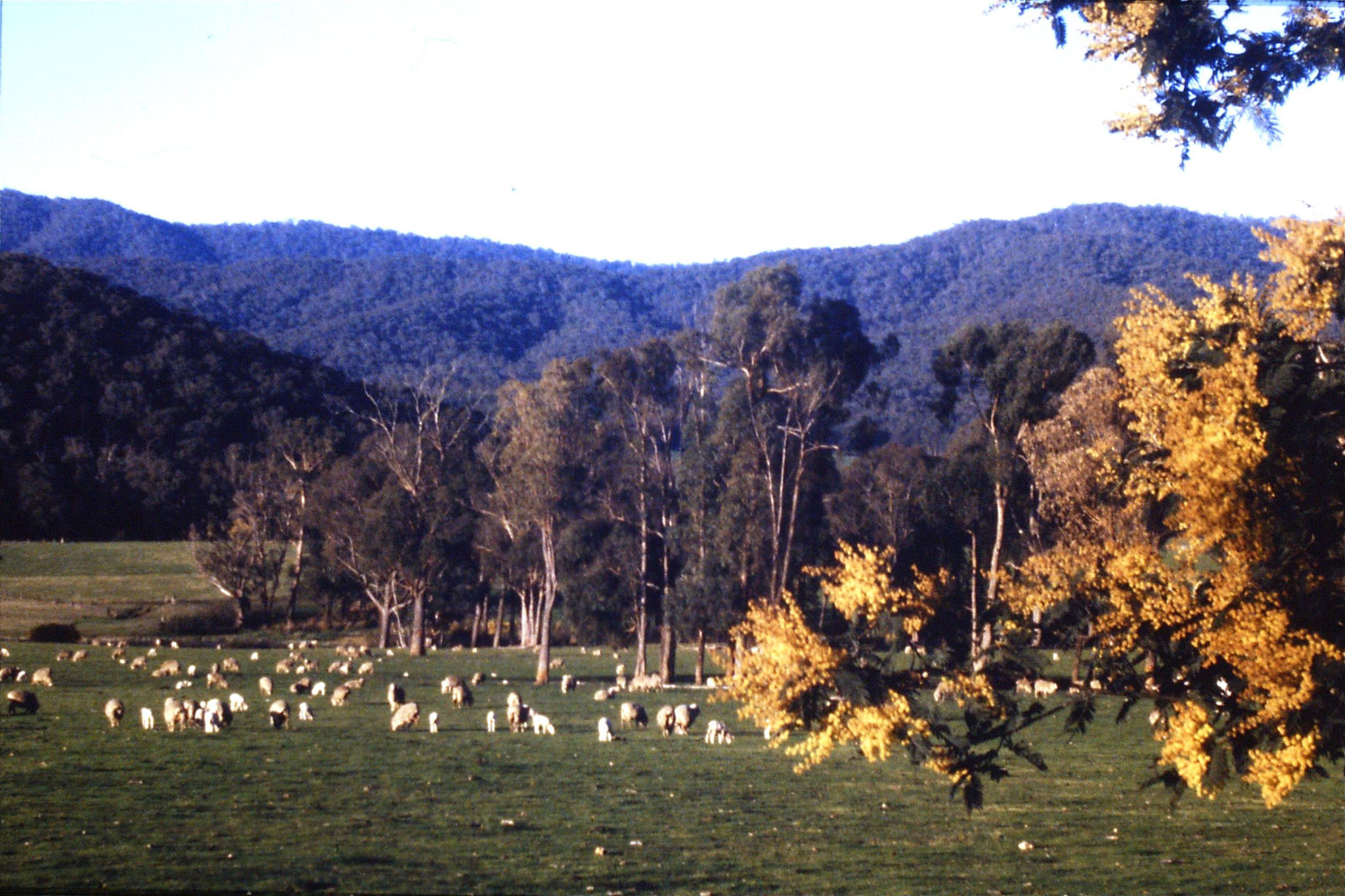27/9/1990: 31: sheep at Mt Buffalo
