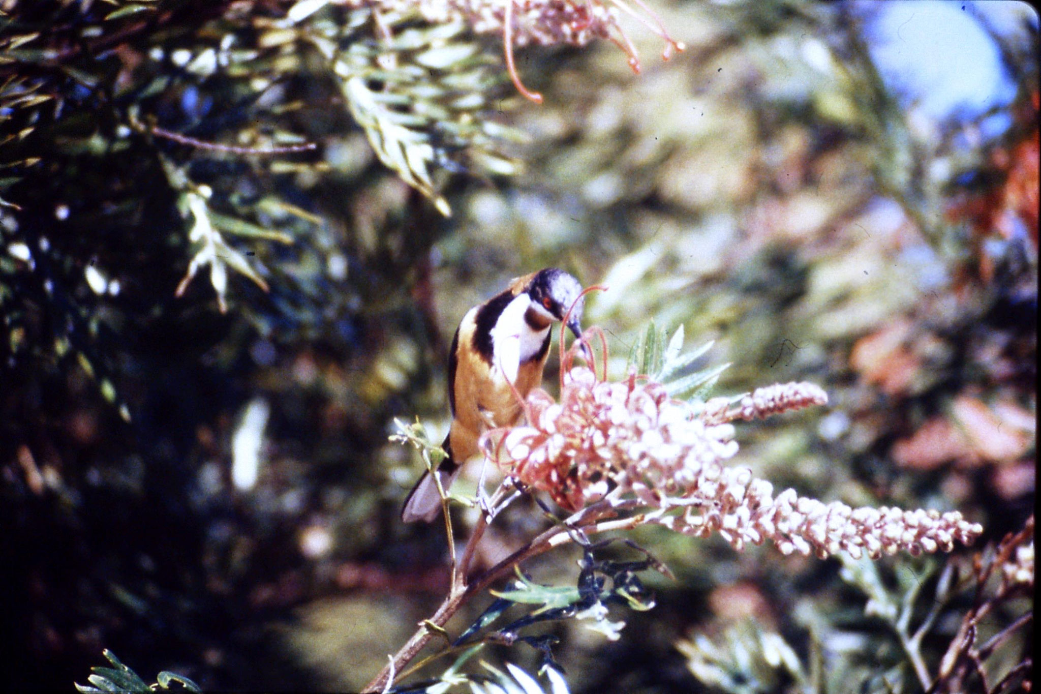 13/10/1990: 15: Mt Lamington, spinebill