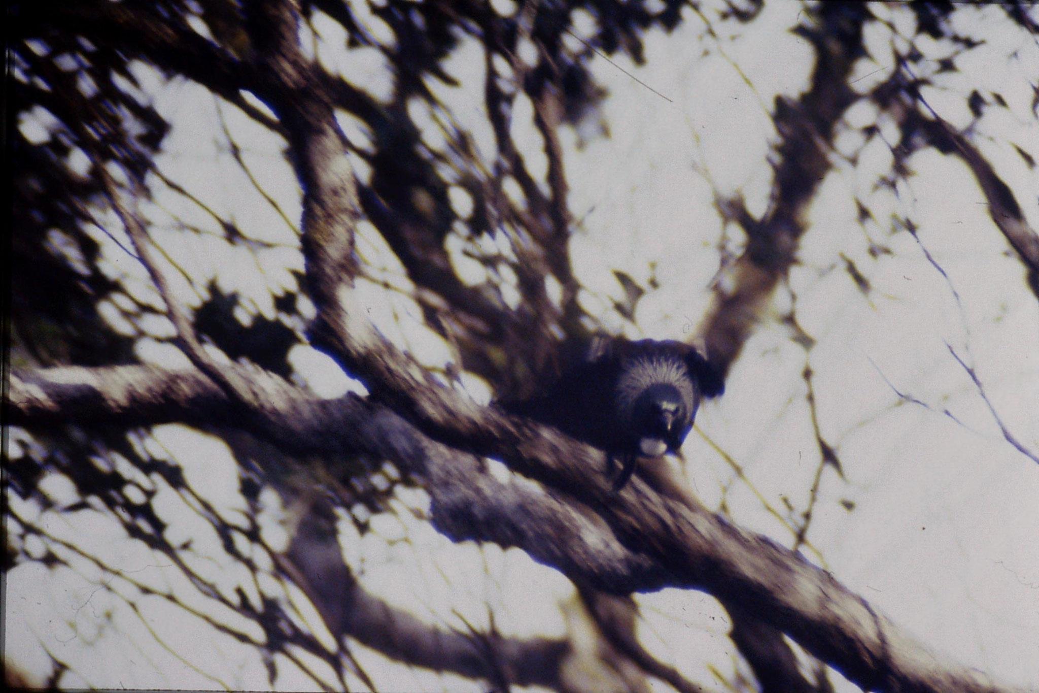 2/9/1990: 2: Little Barrier Is, tui