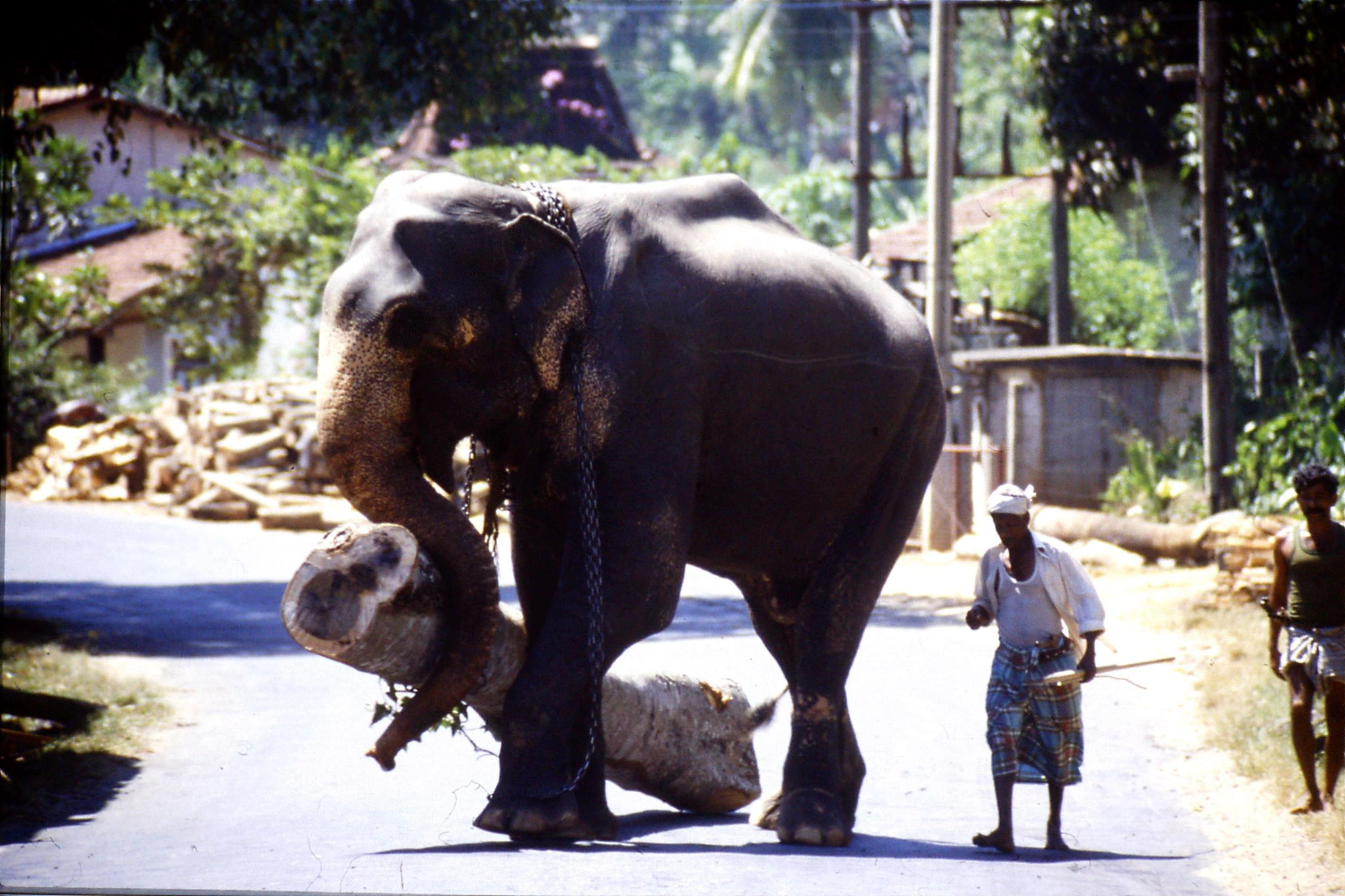 3/2/1989: 7: elephant with log crossing road
