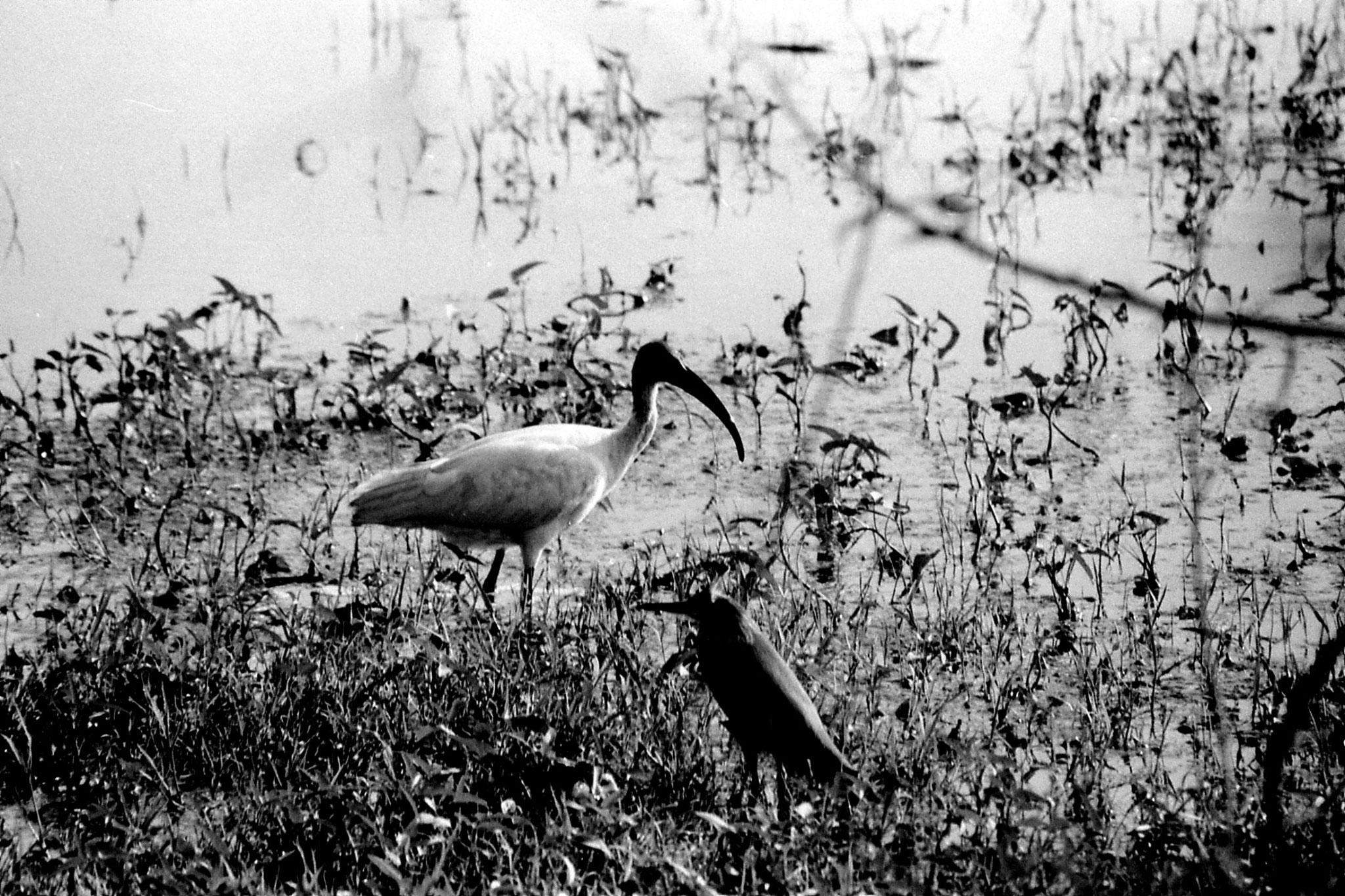 1/4/1990: 26: Bharatpur Ibis and Pond Heron