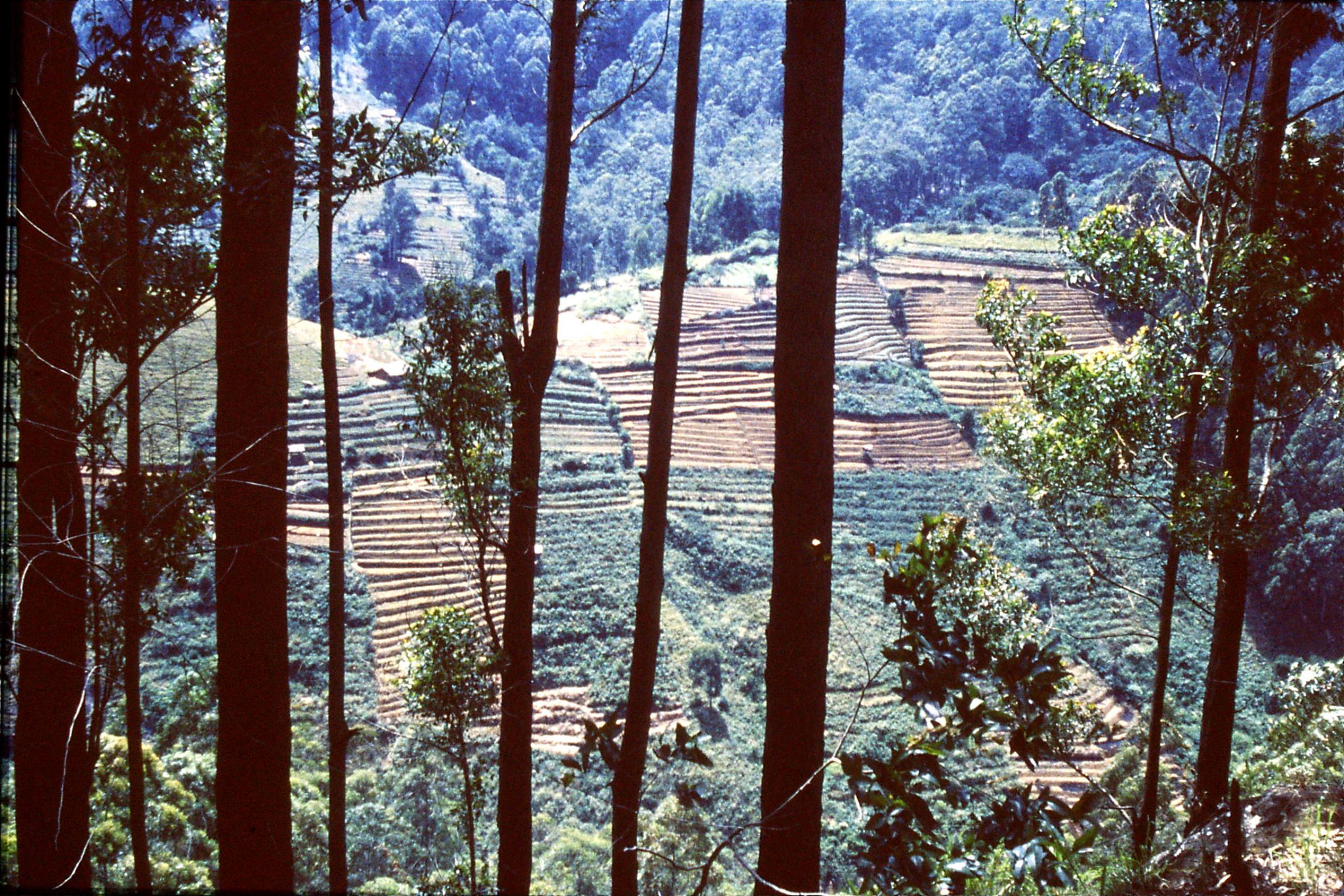 1/2/1990: 17: tea terraces above Boralanda on way to Horton Plains