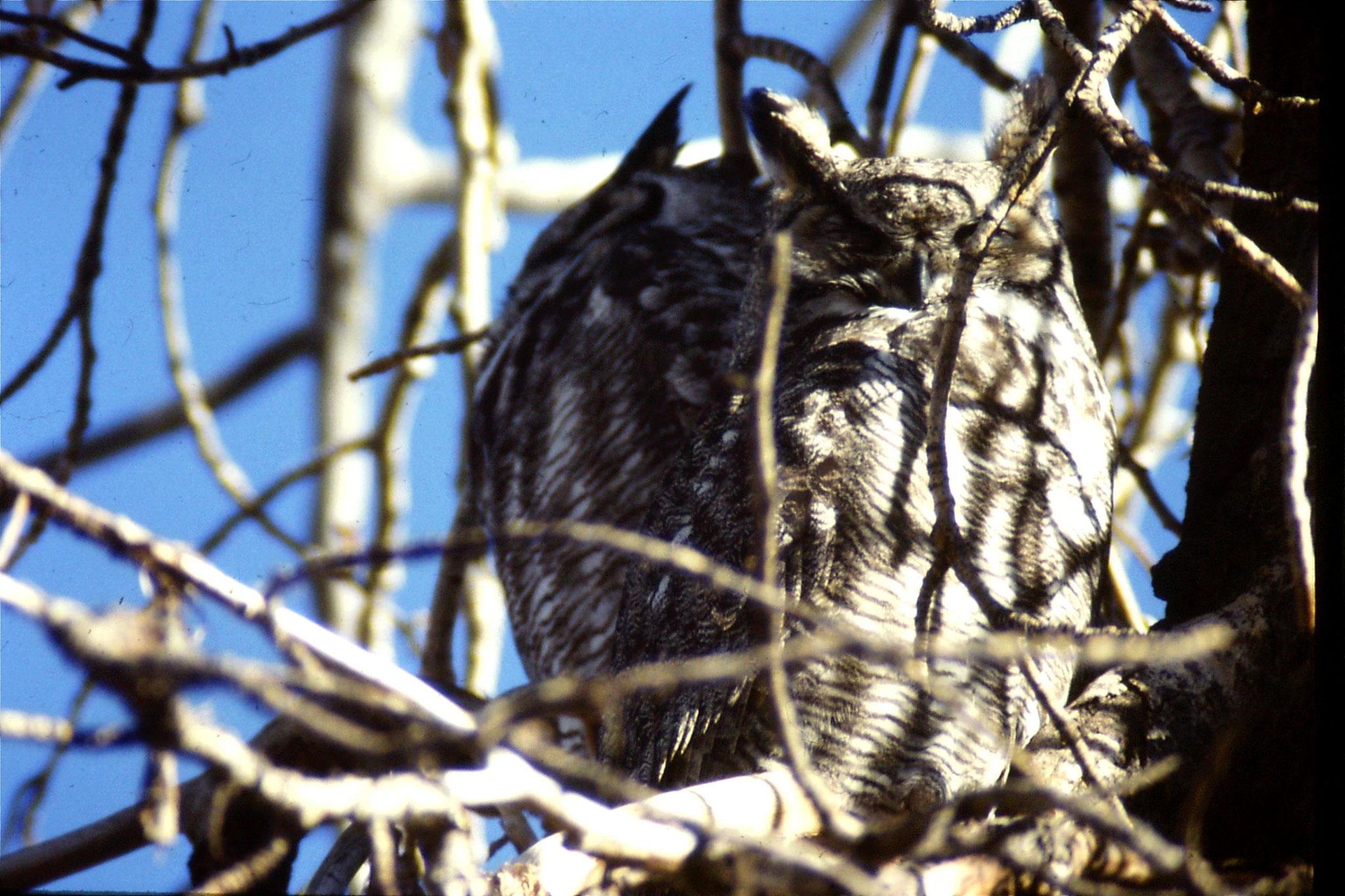 23/1/1991: 25: Gt Horned owls