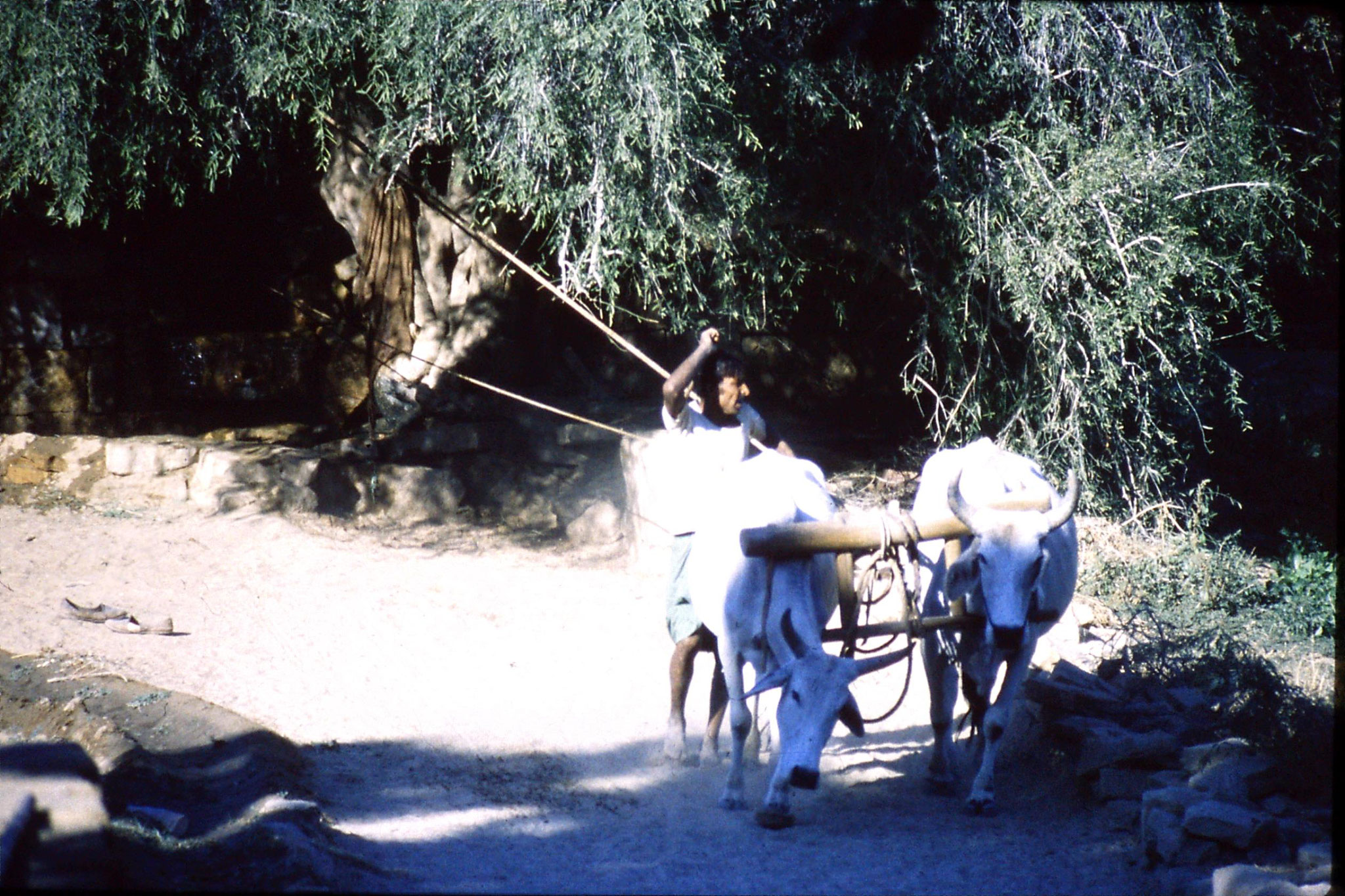 4/12/1989: 9: oxen drawing water