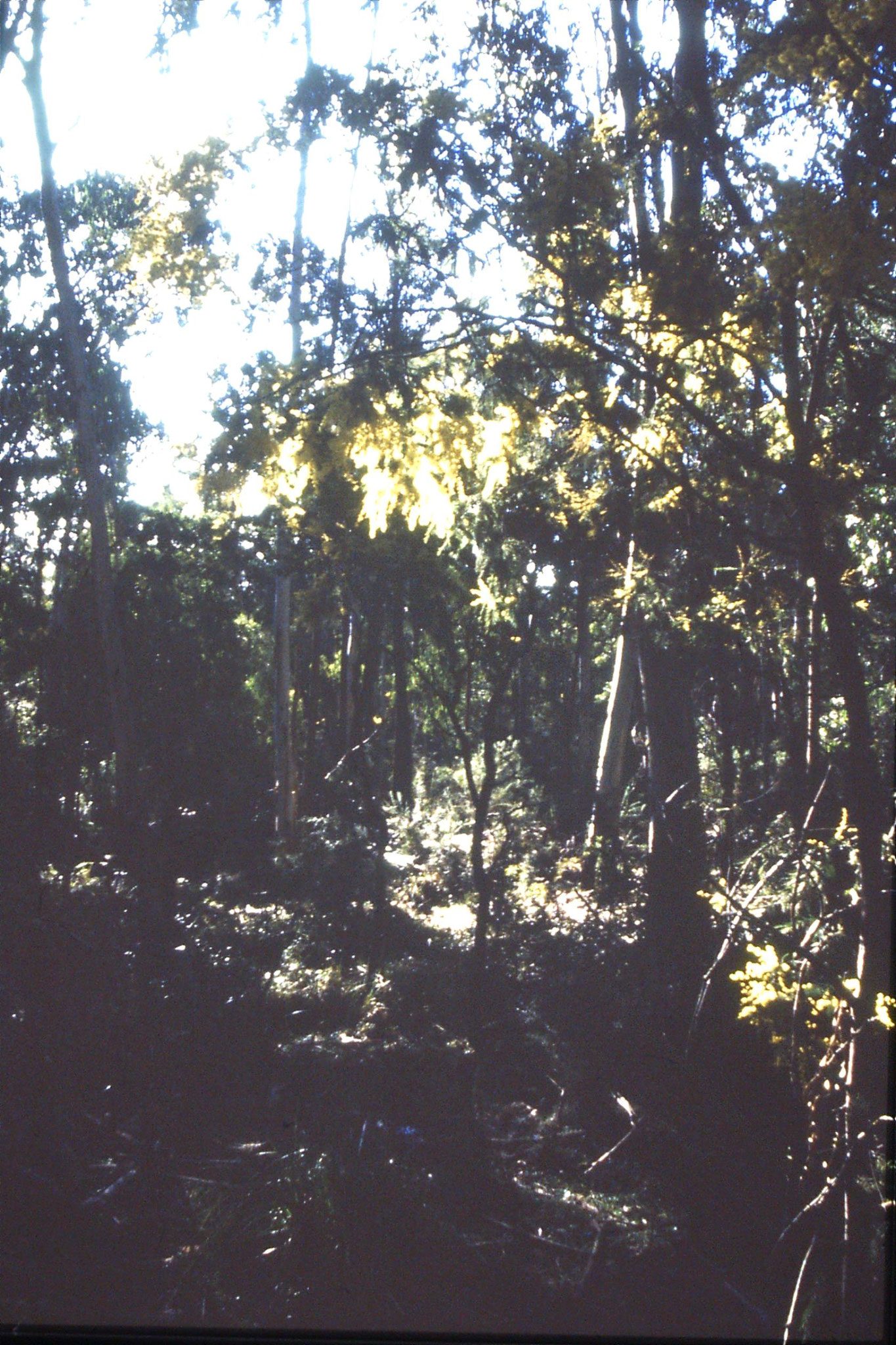 27/9/1990: 30: wattle and eucalyptus forest near Mt Buffalo