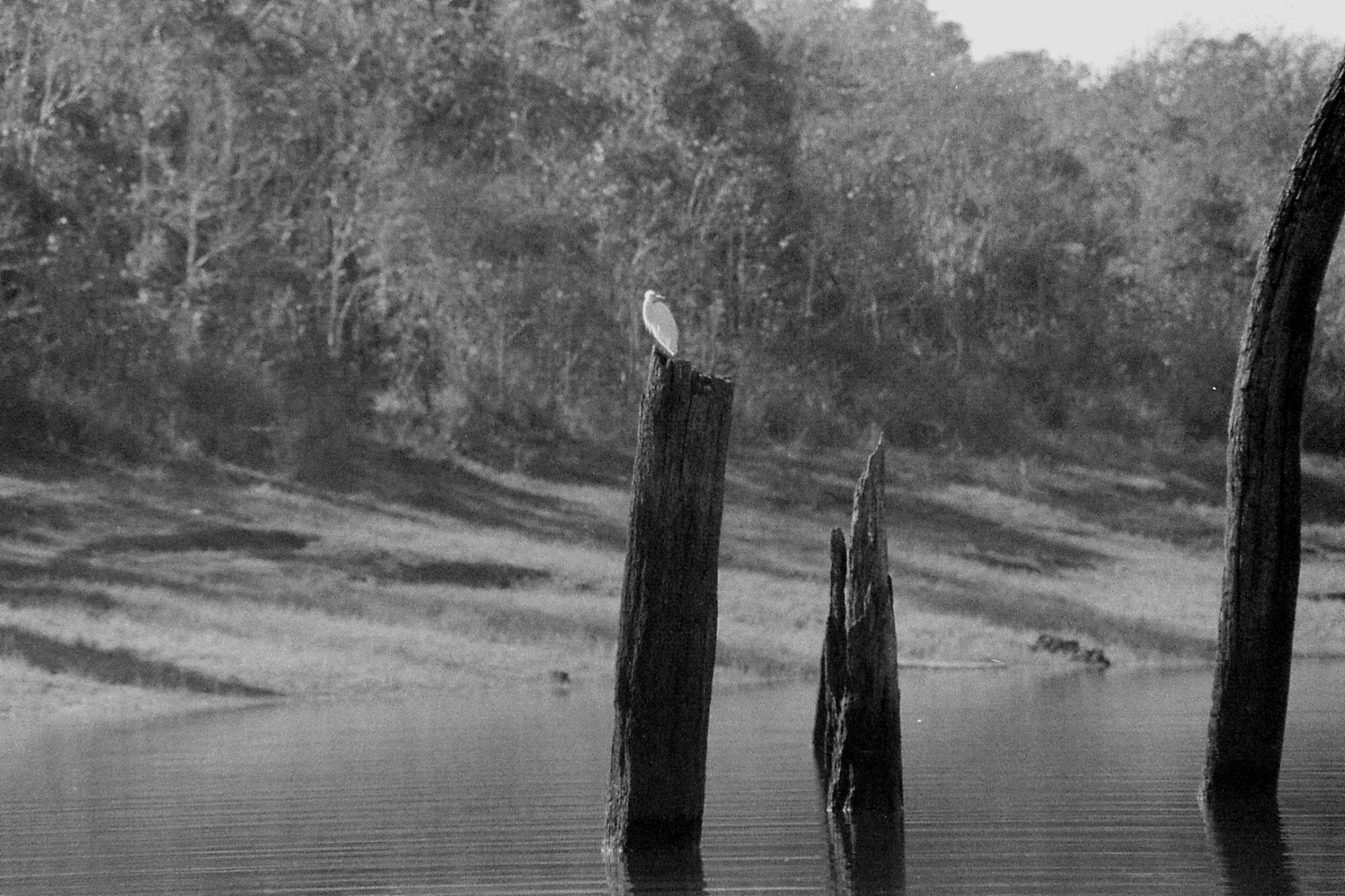 097/30: 23/2/1990 Periyar egret