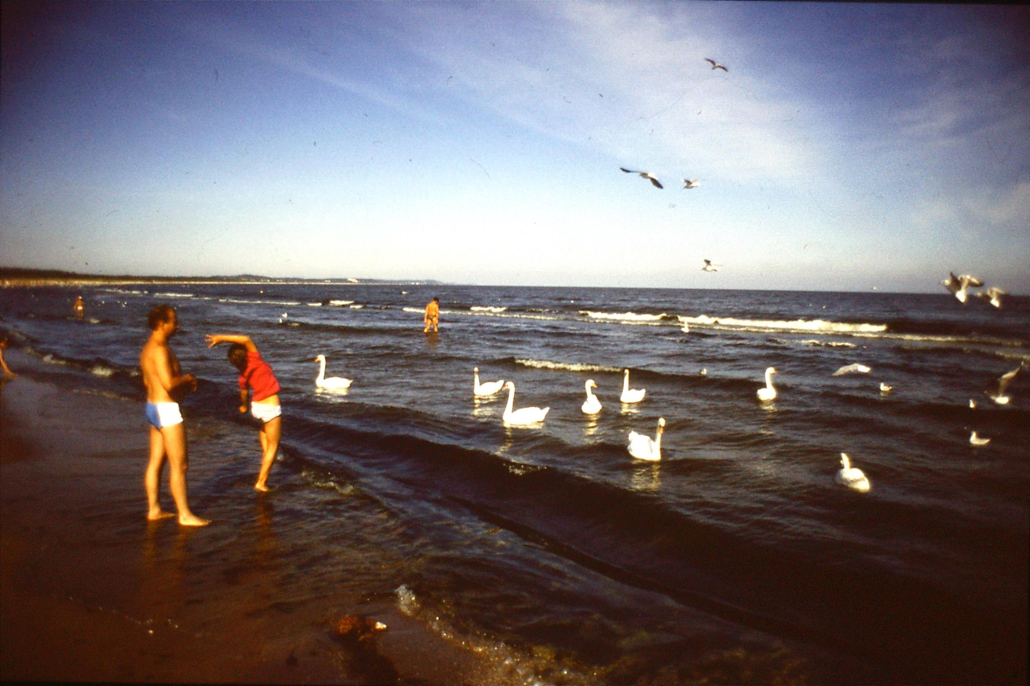 30/8/1988: 13: Swinoujscie, swans on beach