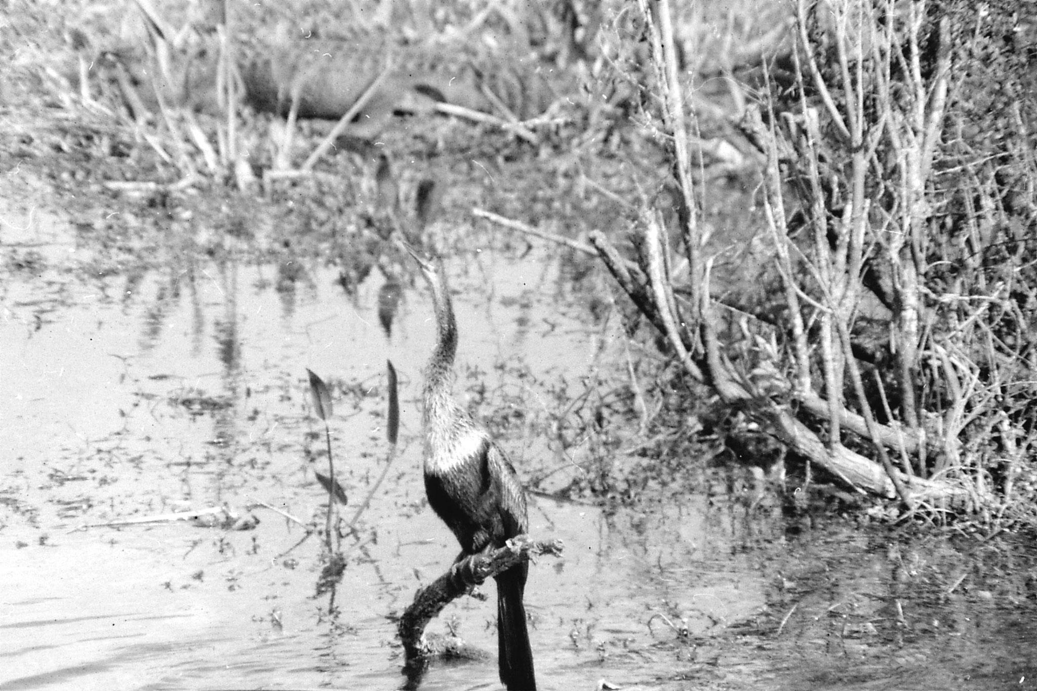 21/12/1990: 3: Everglades, anhinga
