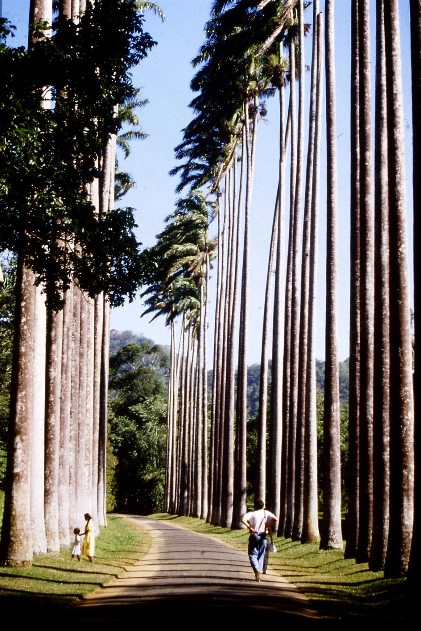 5/2/1990: 16: Kandy Botanical Gardens cabbage palm avenue