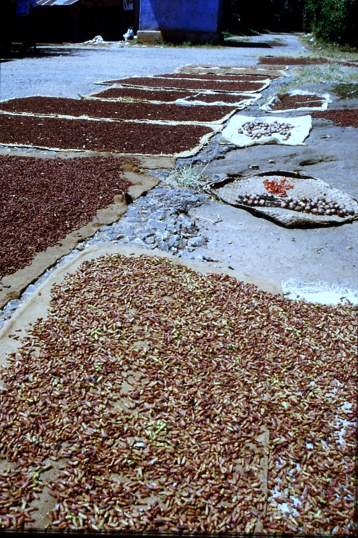 5/2/1990: 21: Outside Kandy Lankatilaka Temple, cloves, nutmegs, peppers drying