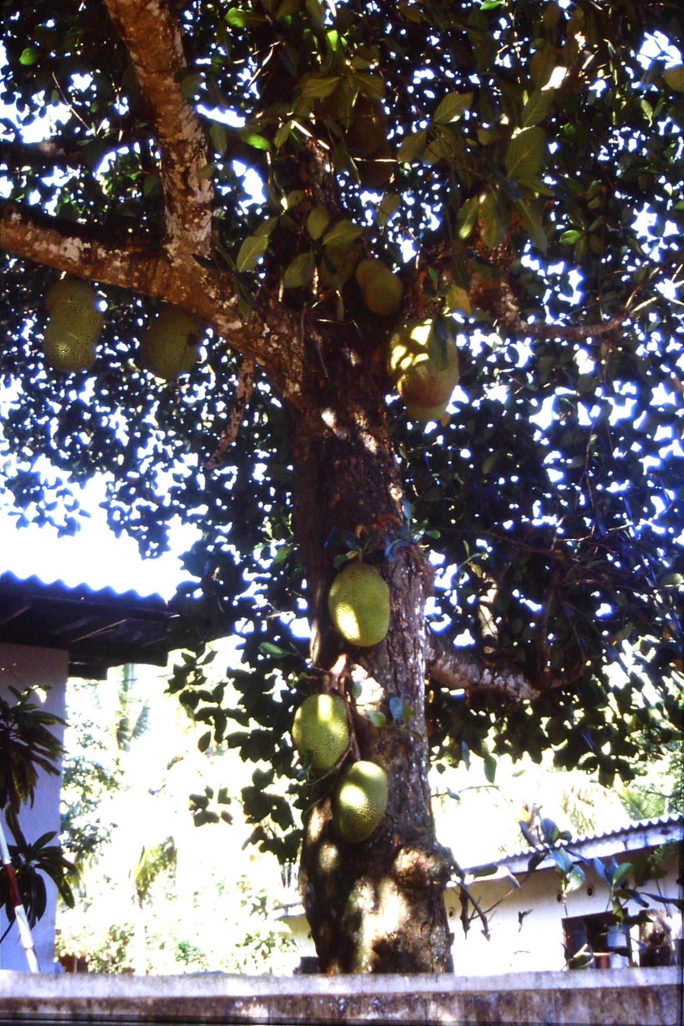 24/1/1990: 28: Pilyandala, jack fruit