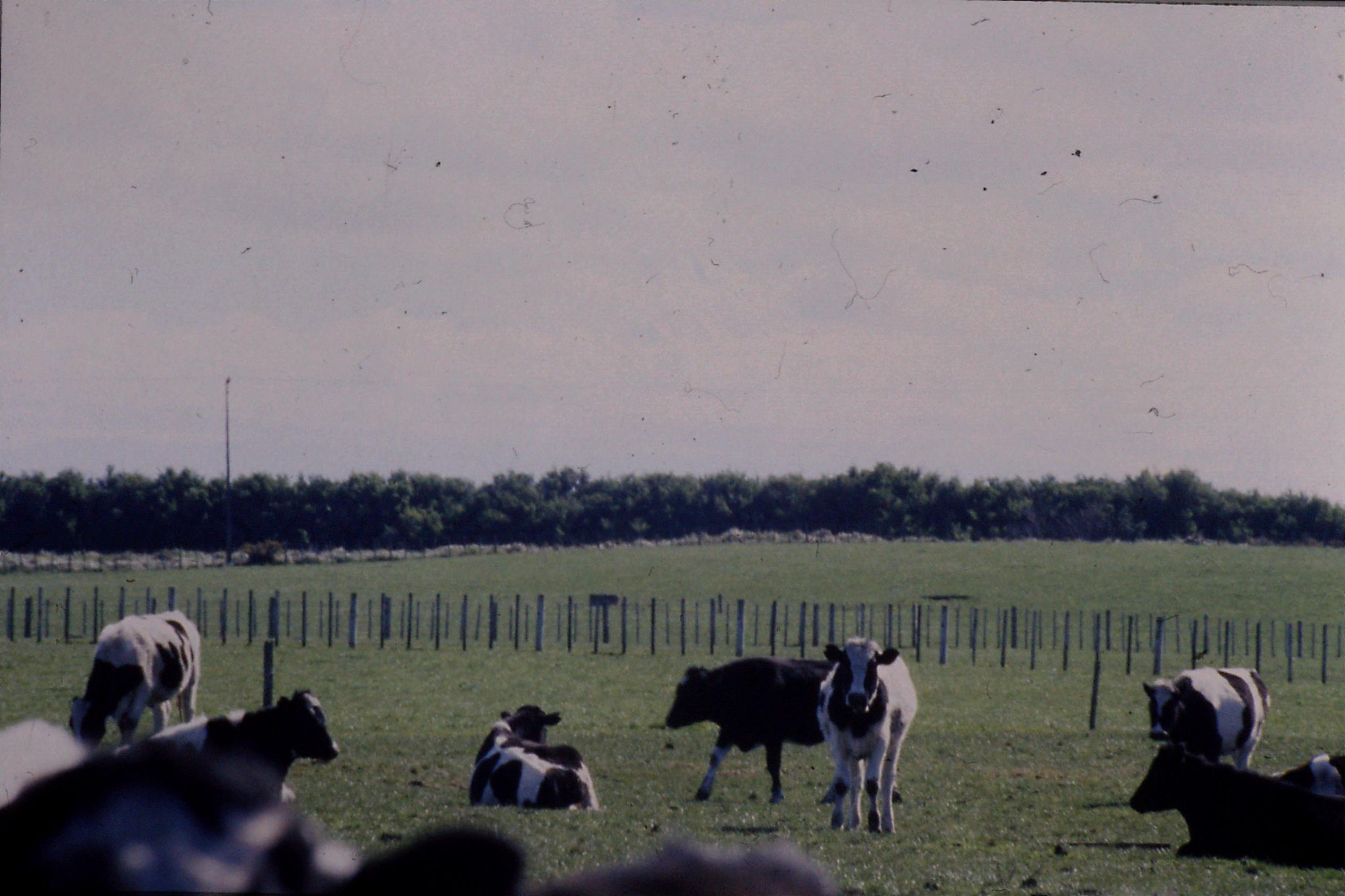 28/8/1990: 16: Mt Egmont and cows west of Waverley