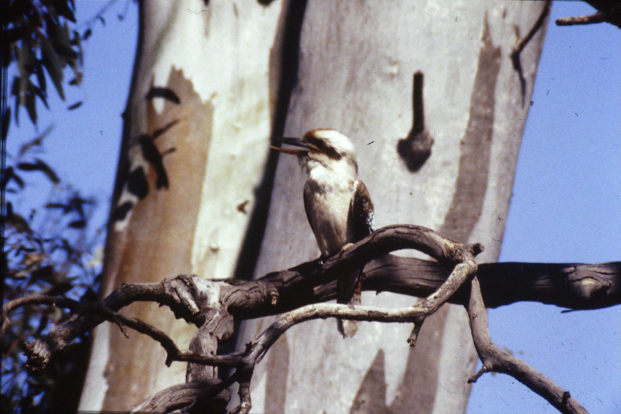 24/9/1990: 13: Hattah Kulkyne, kookaburra