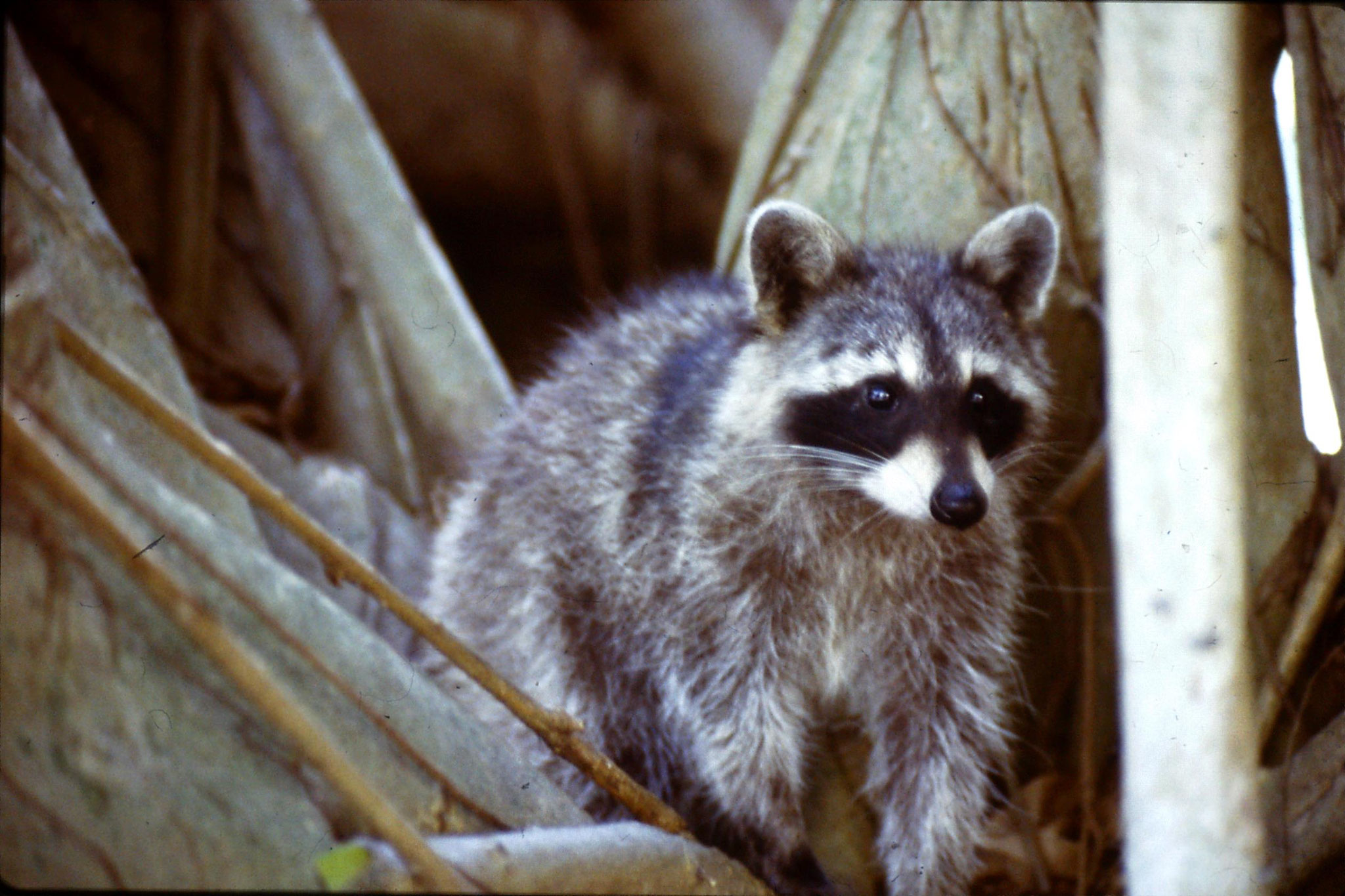 8/3/1991: 1: Key Biscayne raccoon