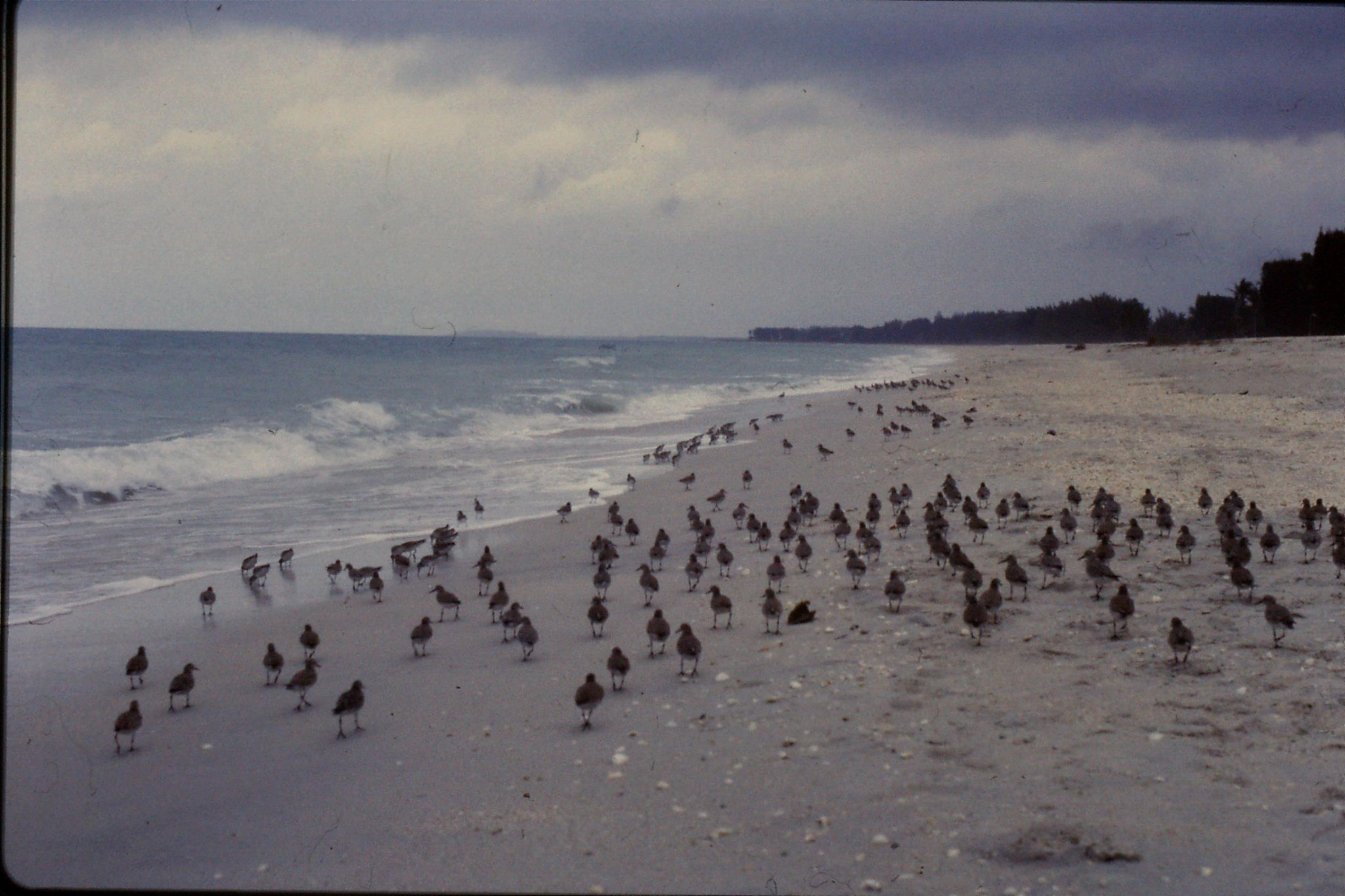 25/2/1991: 6: Sanibel Florida red knots
