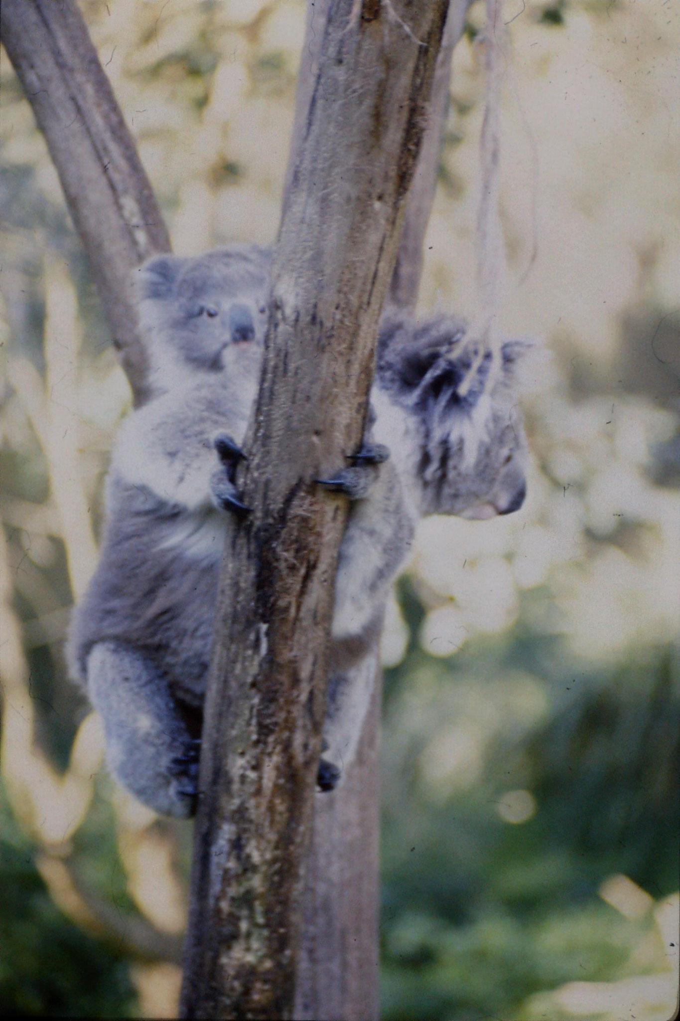 4/10/1990: 23: Healesville  Sanctuary, koalas