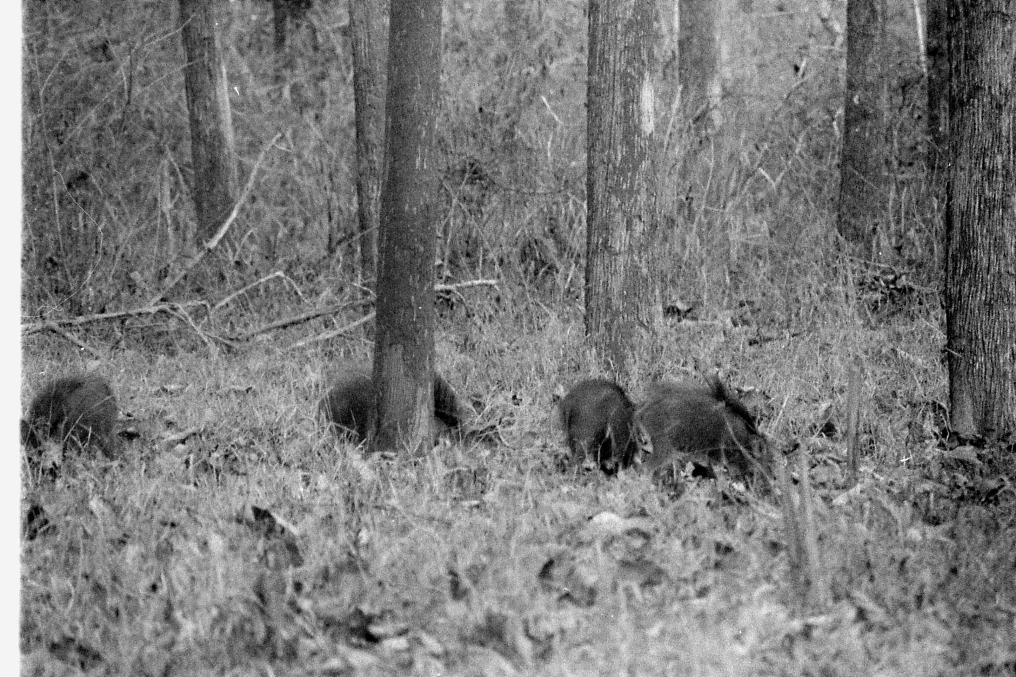 11/3/1990: 28: Nagarahole wild boar