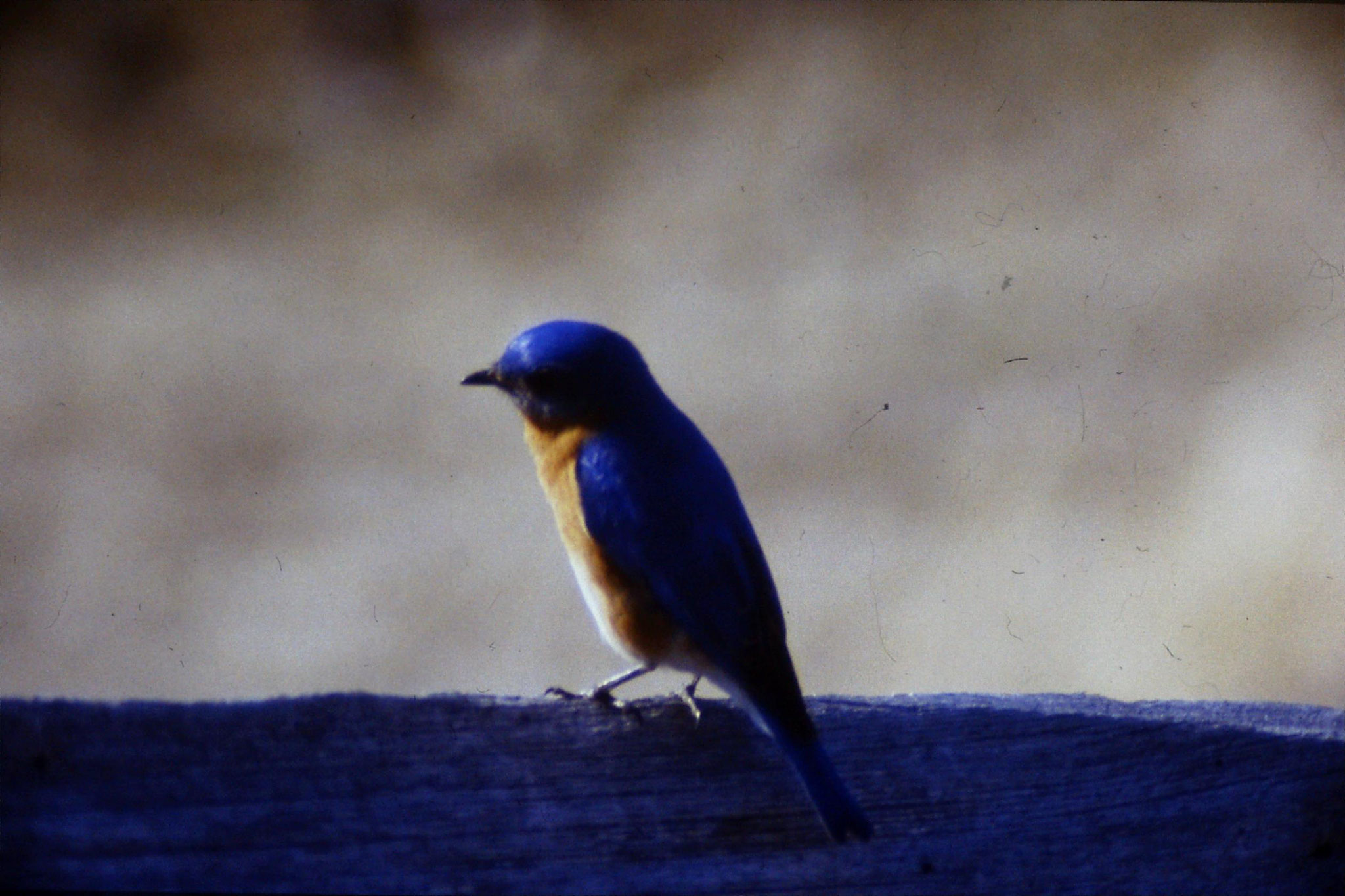 21/3/1991: 6: Blue Bird at Mary Potter's place