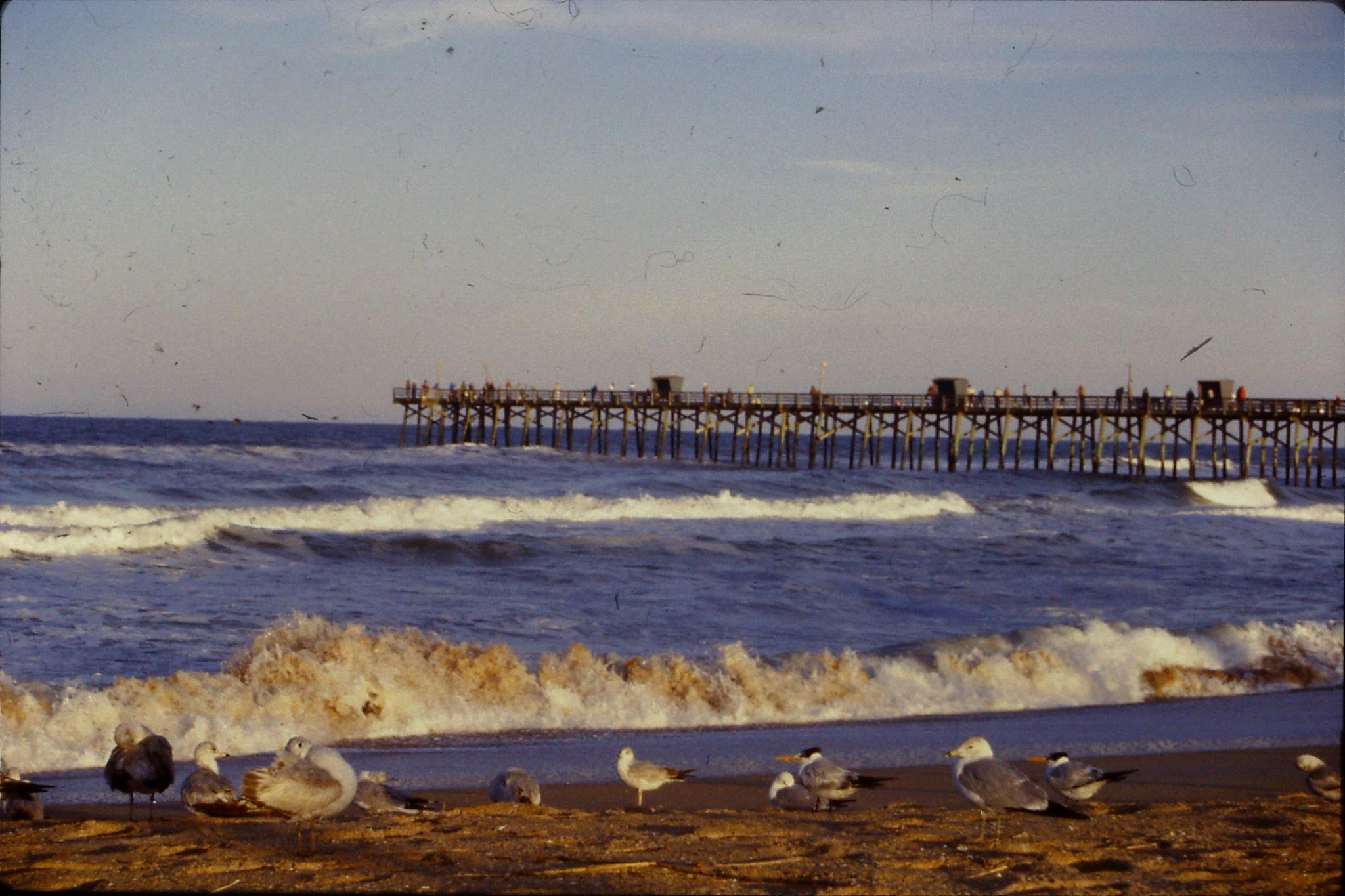 12/3/1991: 9: St Augustine Beach semi-palmated plovers and turnstones