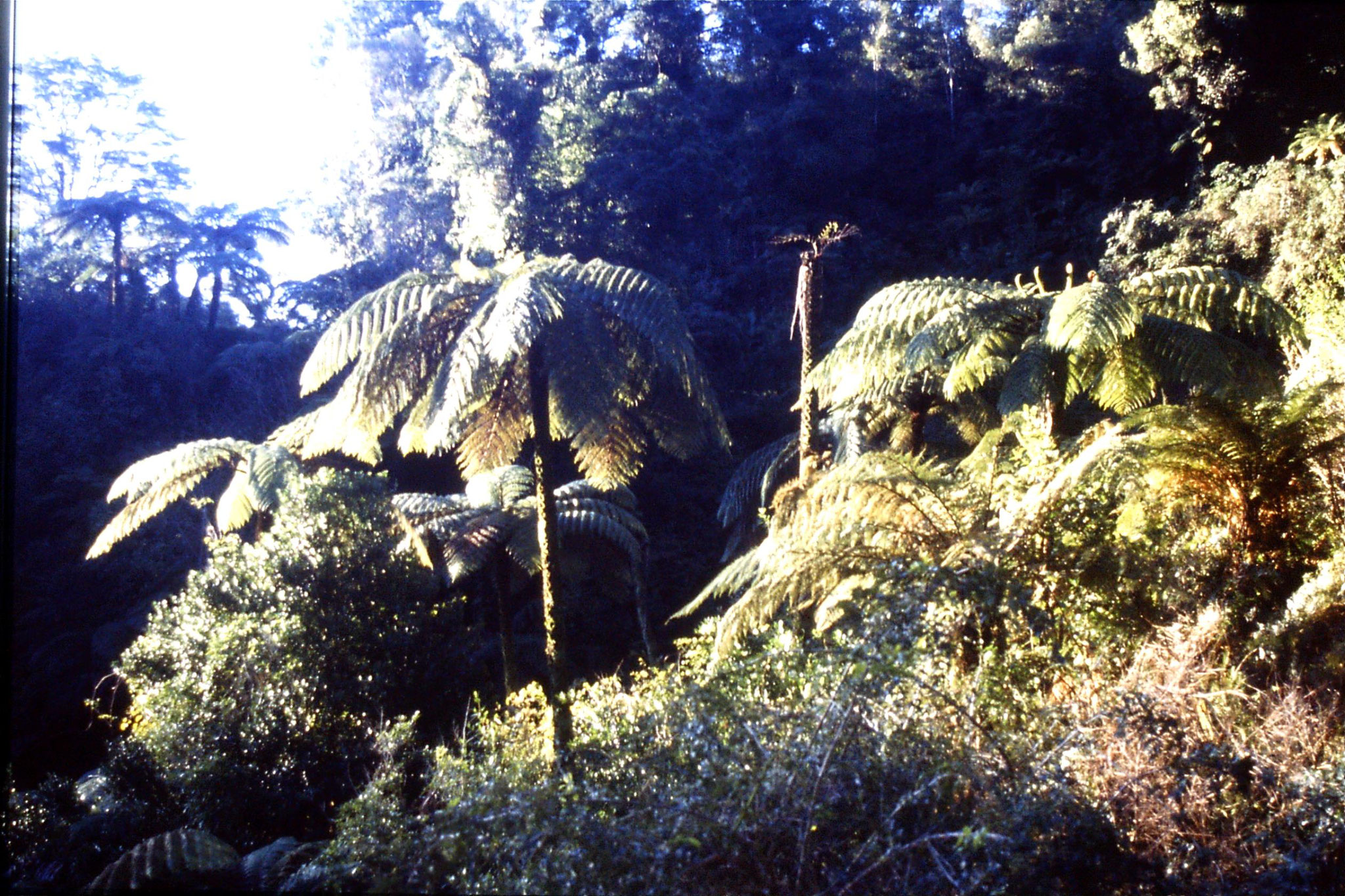 28/8/1990: 23: tree ferns near Whangamomona Saddle