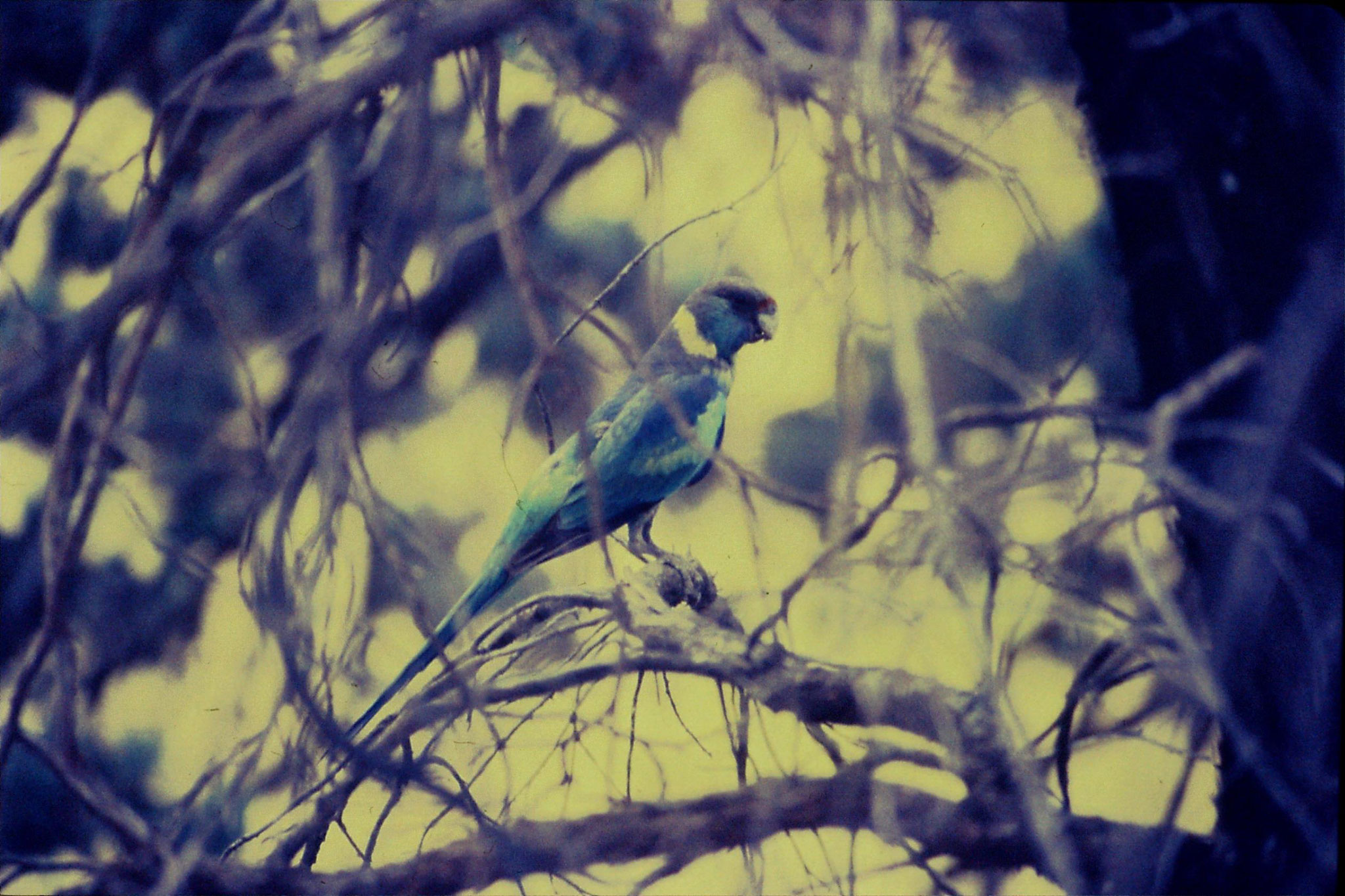 7/11/1990: 3: Flinders Ranges, Ringnecked parrot