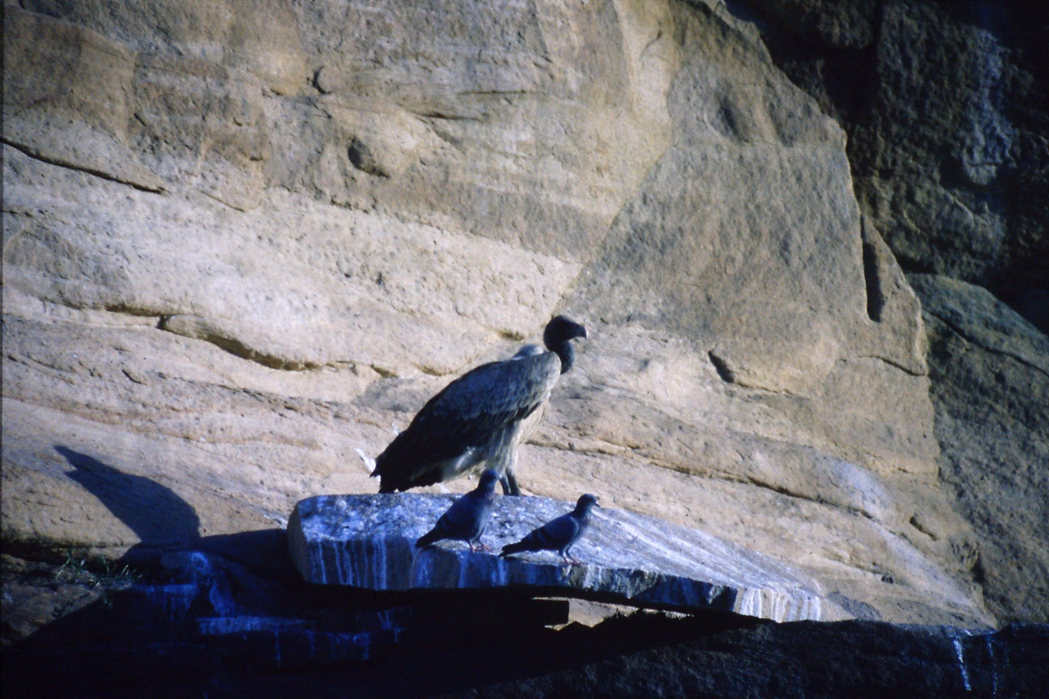 28/11/1989: 38: Jodhpur Red Fort vulture