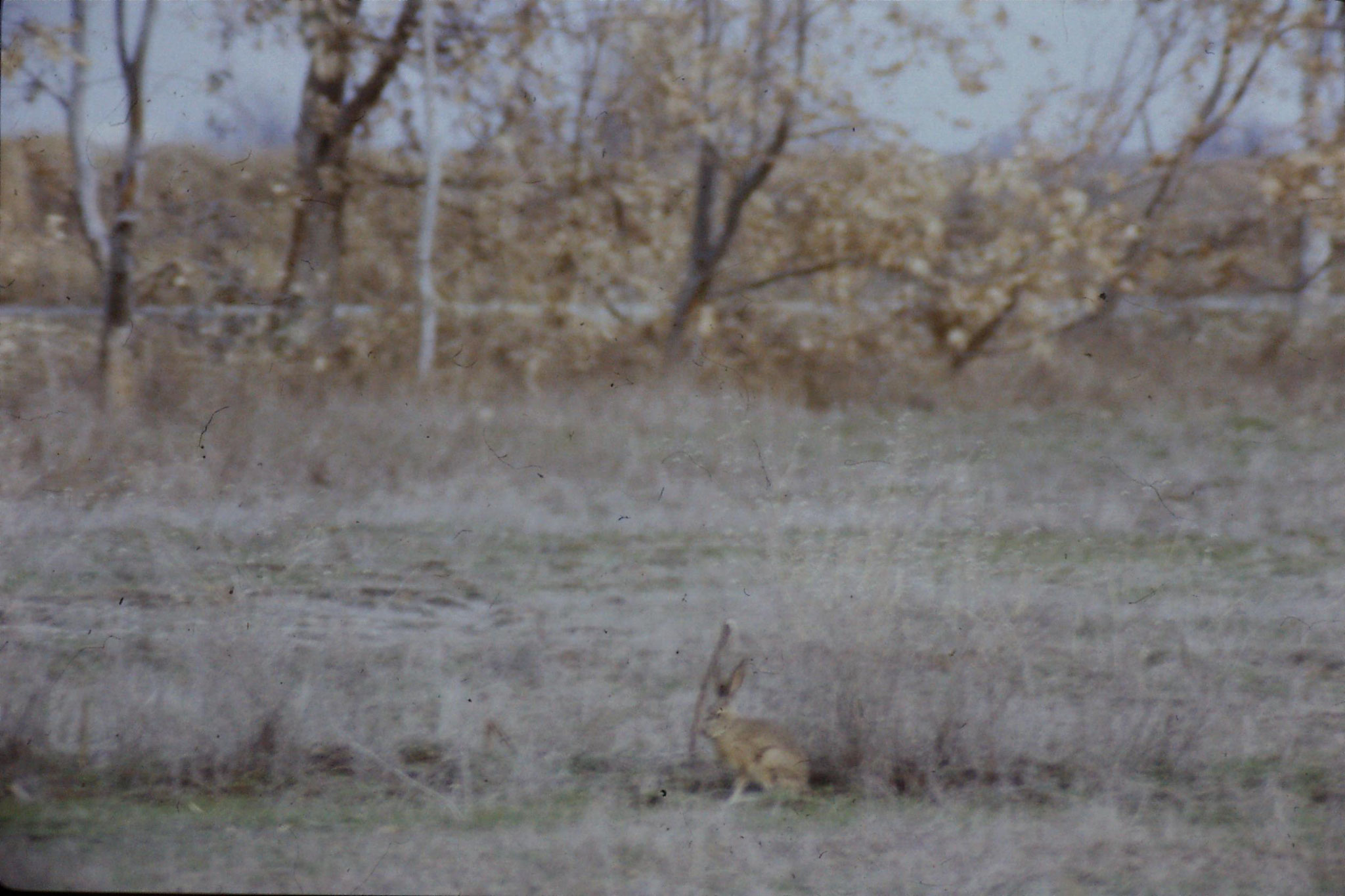 15/2/1991: 16: Sacramento NWR, Black Tailed Jack Rabbit