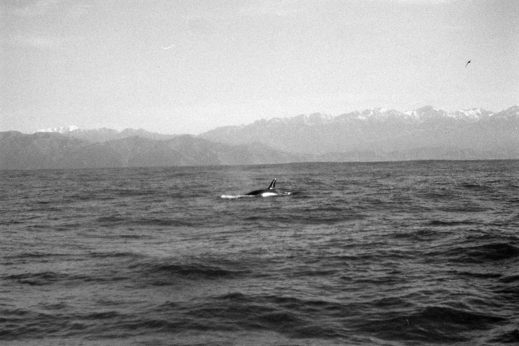 9/8/1990: 13:Kaikoura: killer whale