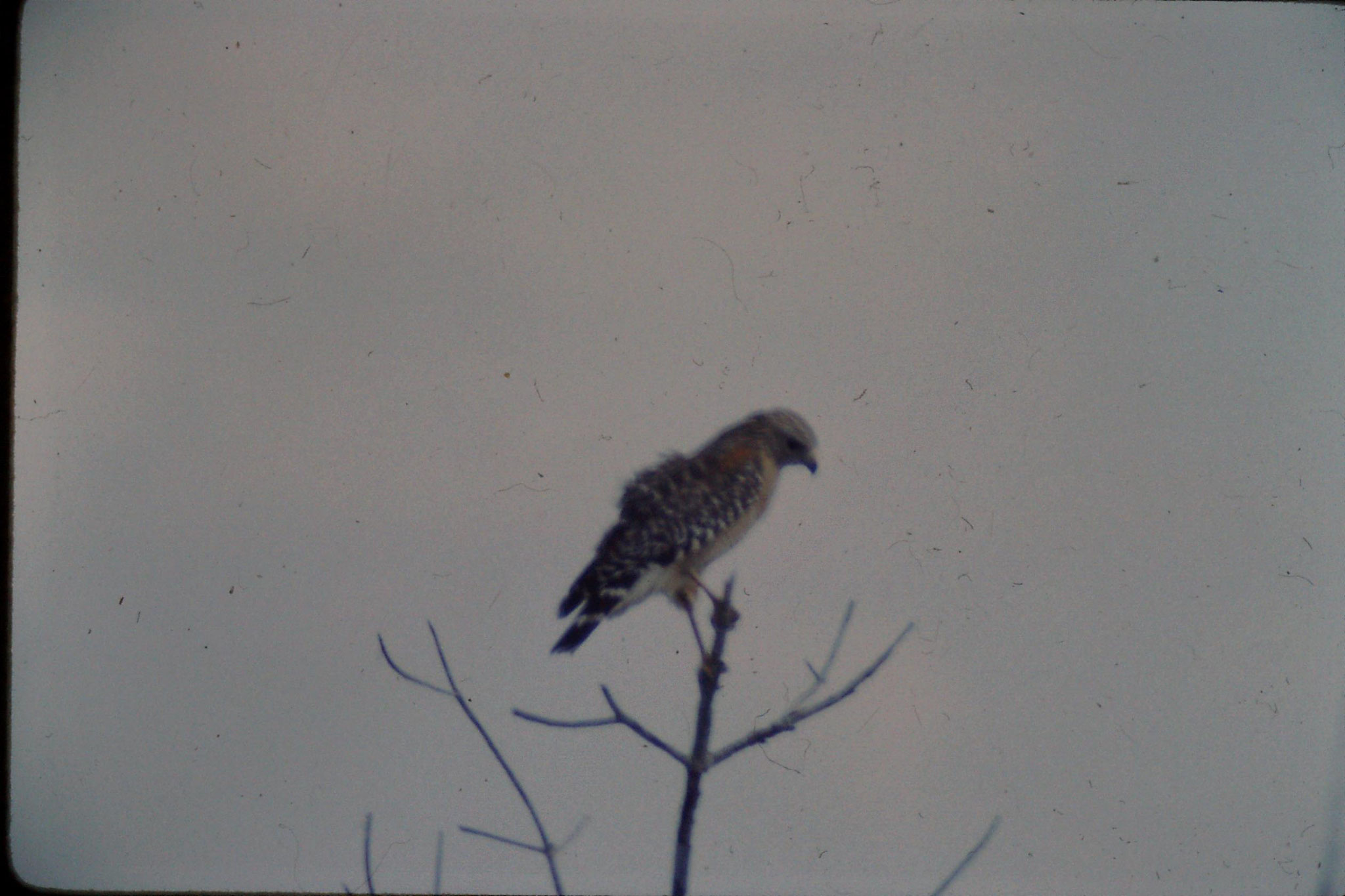 21/12/1990: 11: Everglades, red shouldered hawk