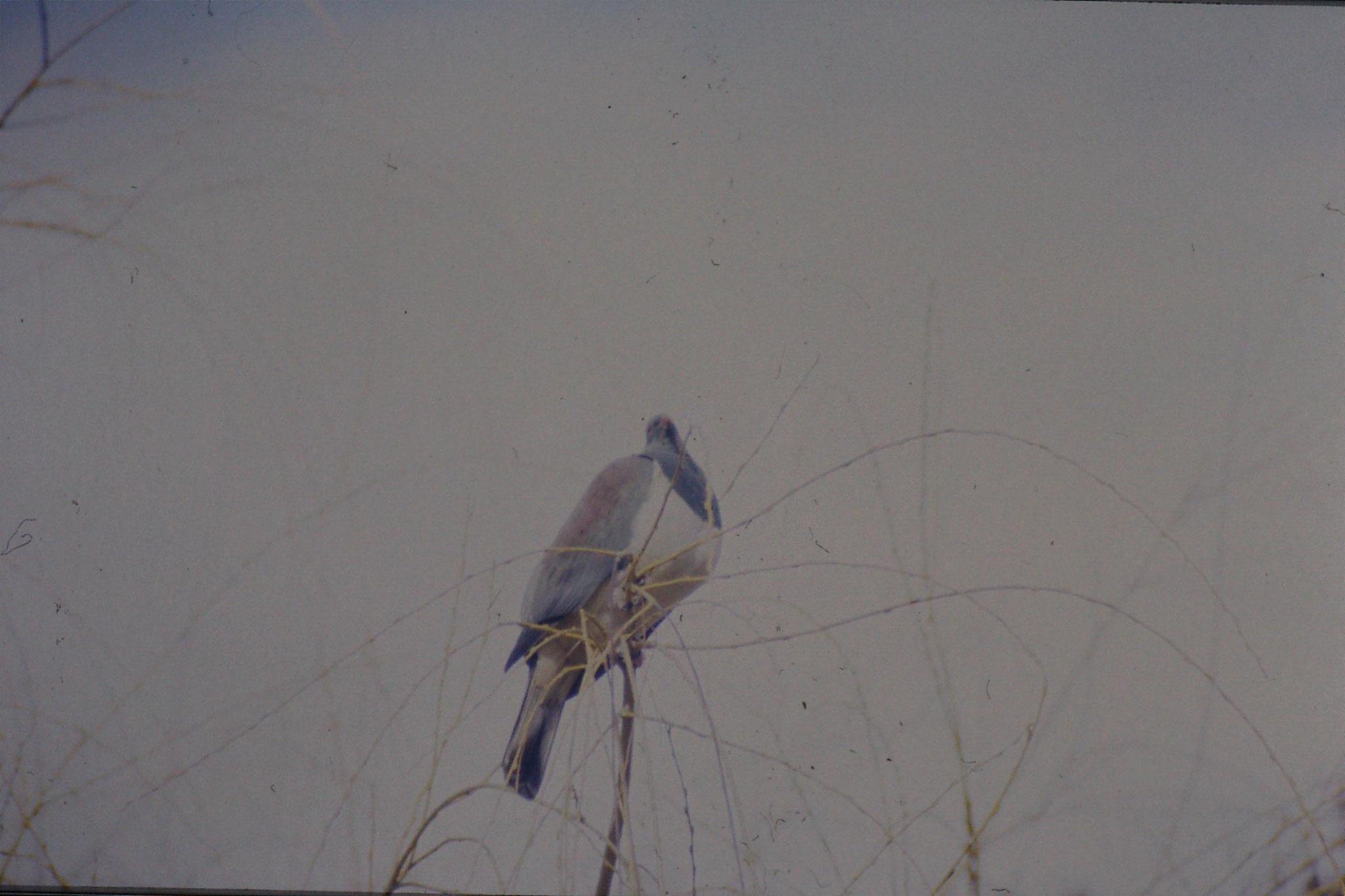 12/8/1990: 21: New Zealand pigeon