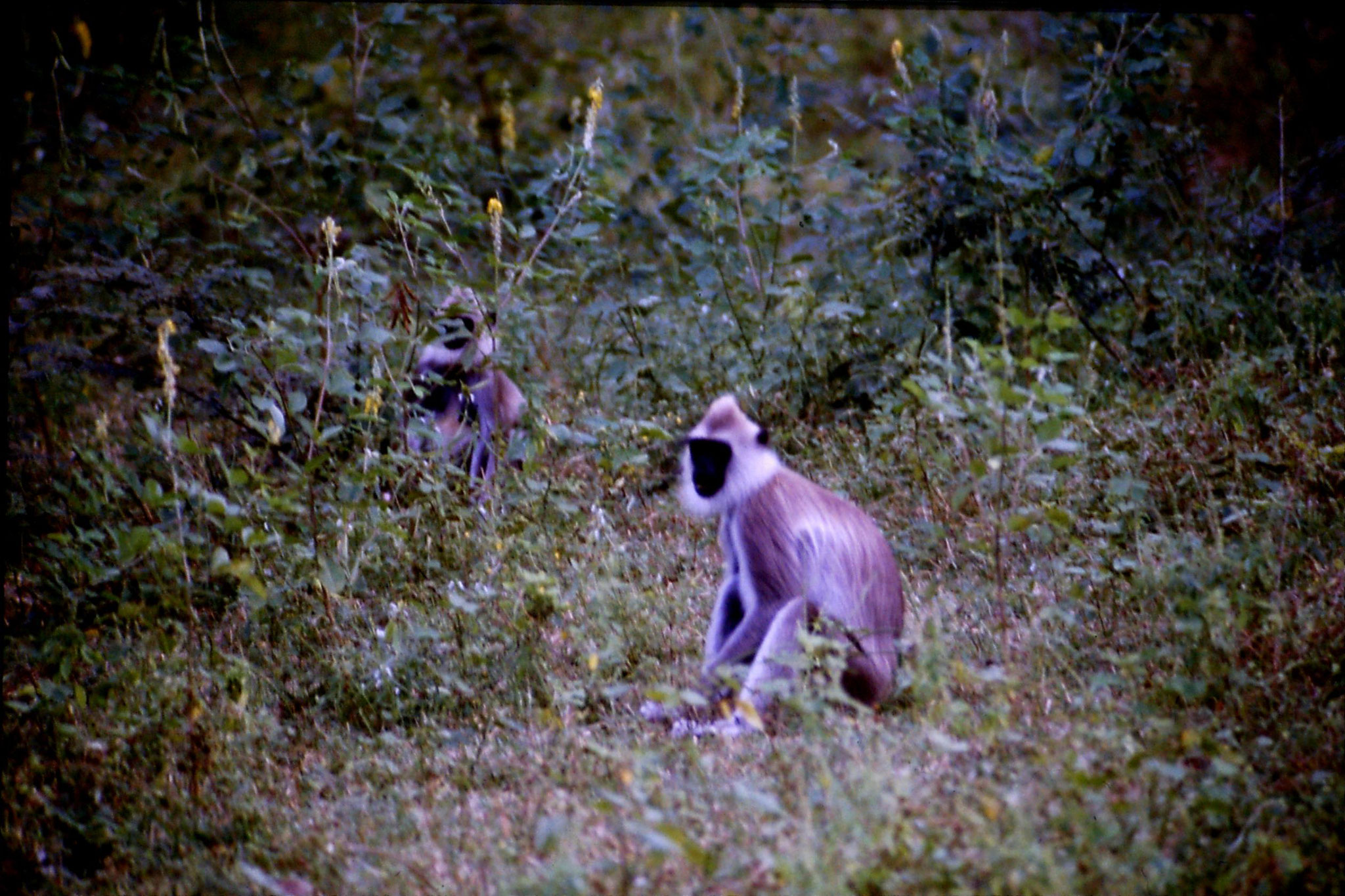 7/2/1990: 33: Polonnarua, langur monkey