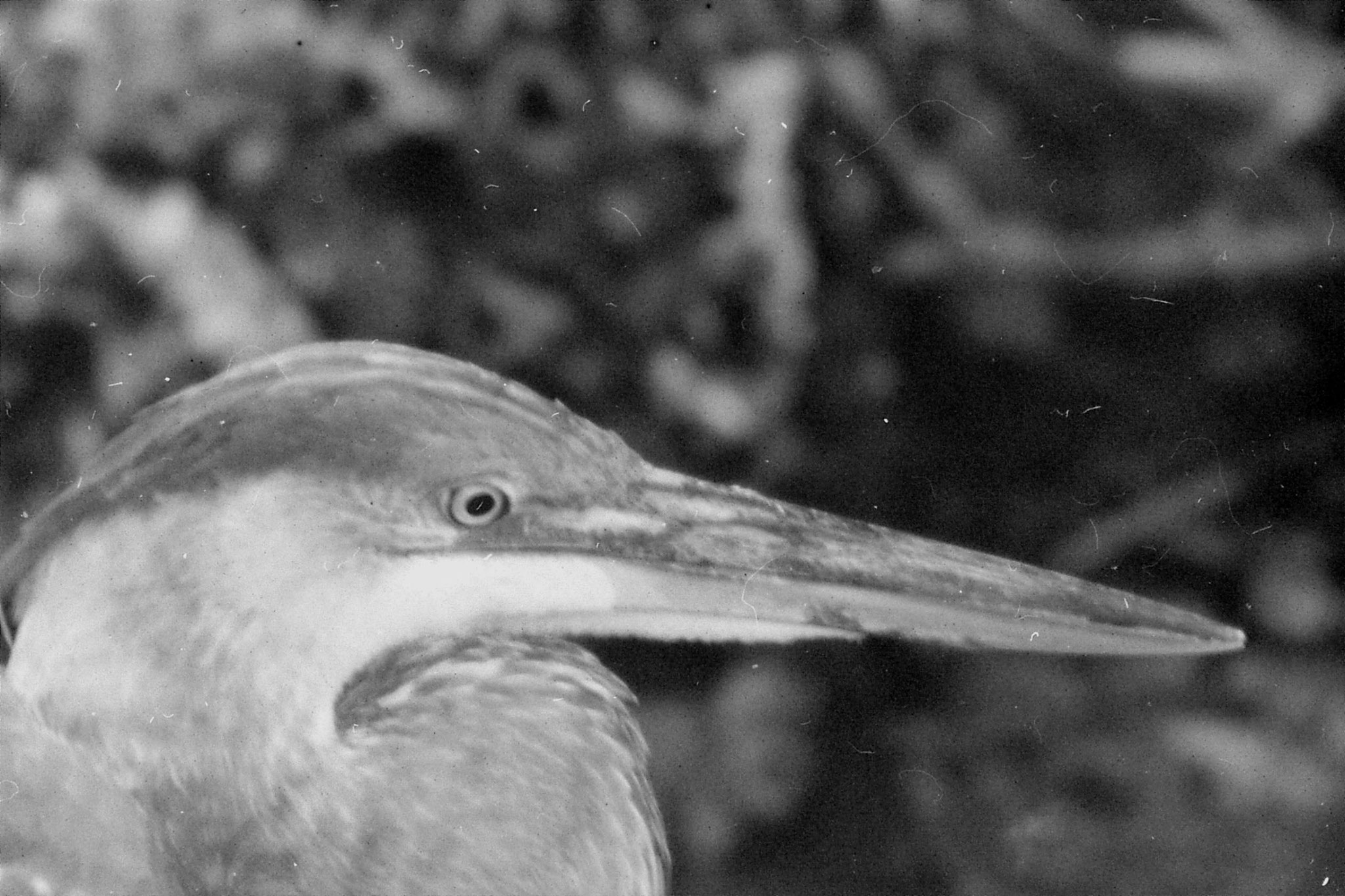 21/12/1990: 2: Everglades, Blue Heron