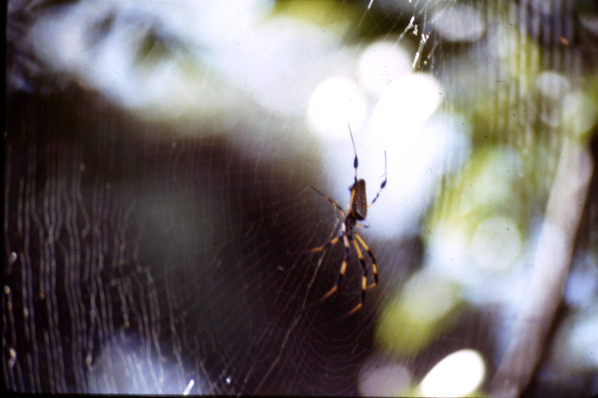 21/12/1990: 9: Everglades, Golden Orb spider