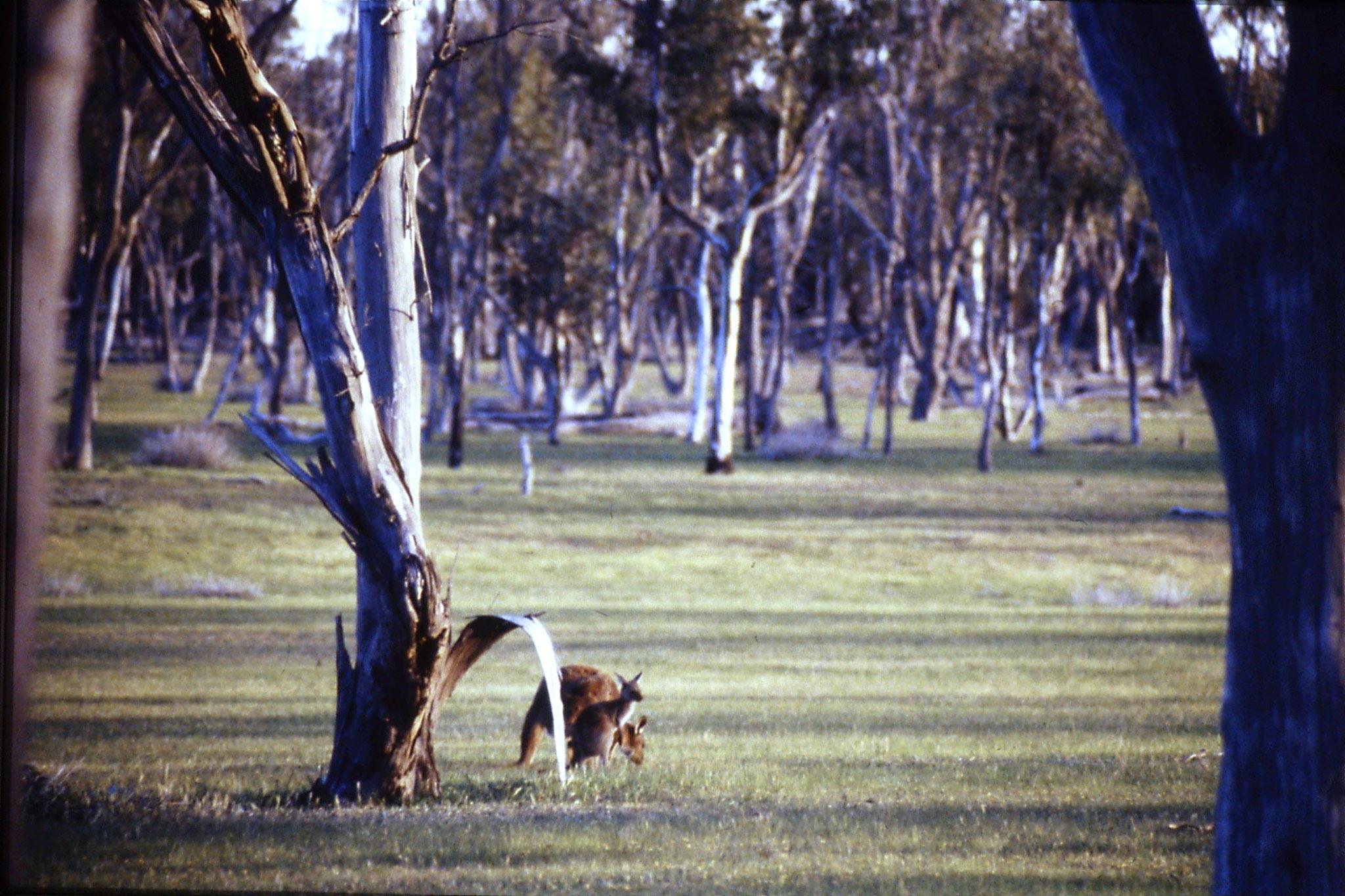 23/9/1990: 5: Western grey kangaroos