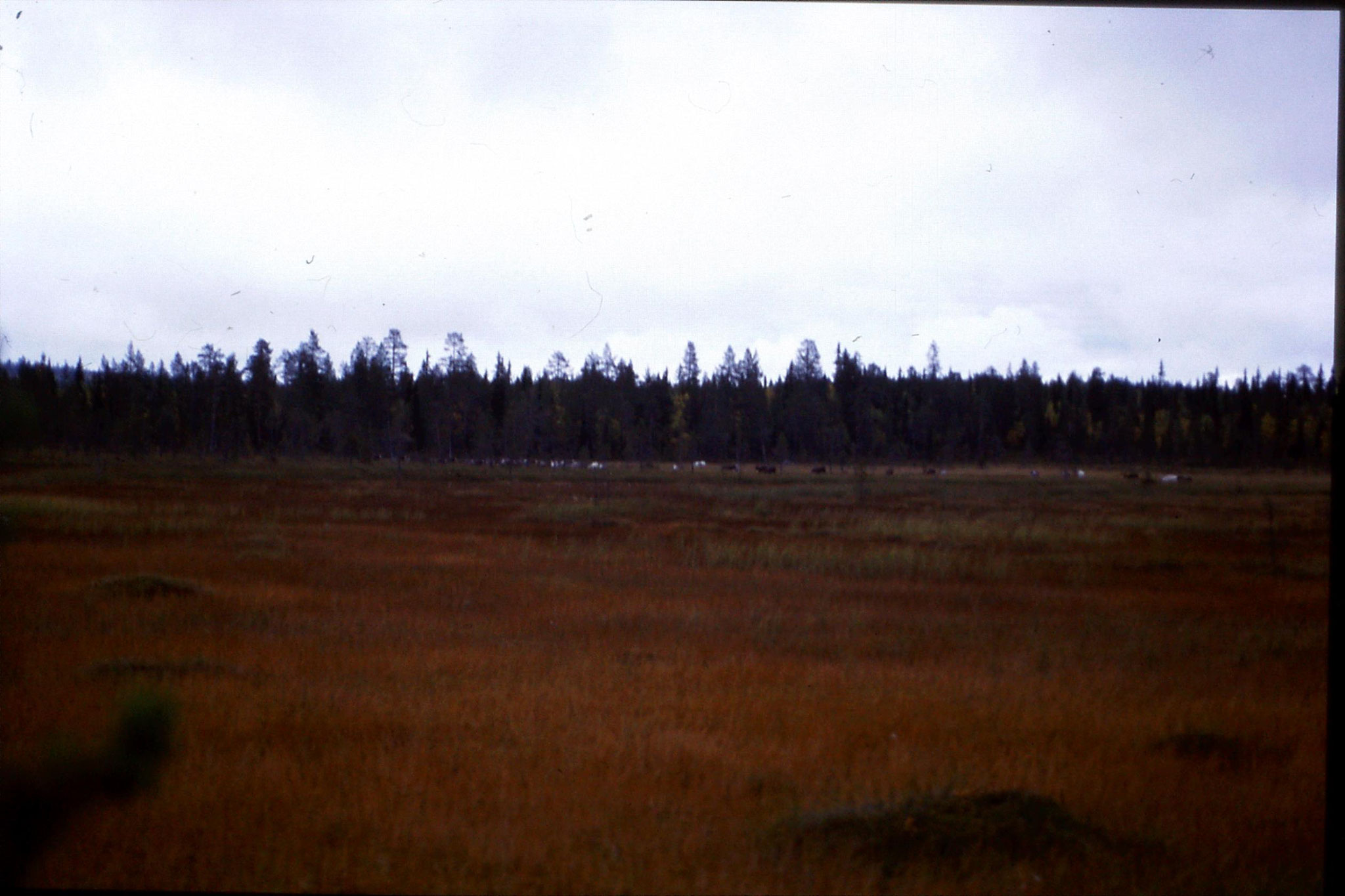 12/9/1988: 6: reindeer on road south from Jokkmokk