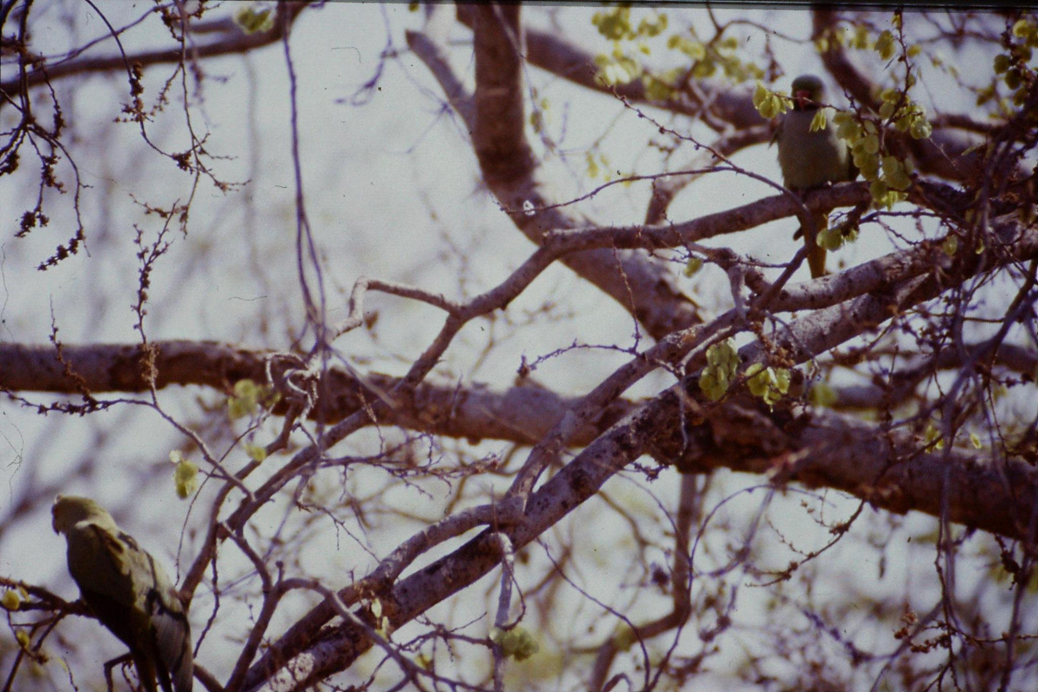 109/13: 31/3/1990 Fatehpur Sikri - parakeets