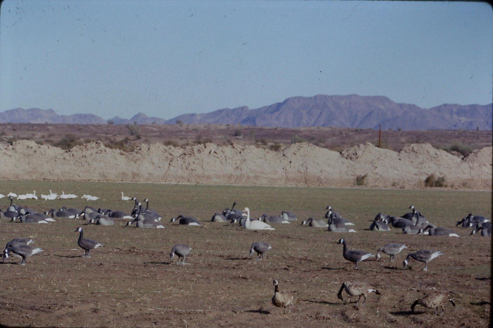 10/12/1990: 4: Cibola WR, decoy geese
