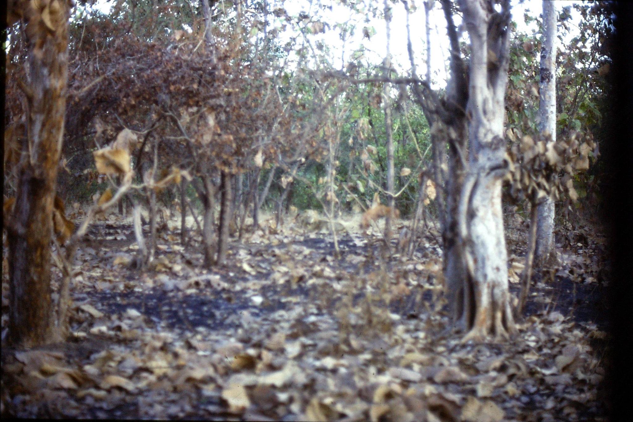 13/12/1989: 3: Sasan Gir, lion