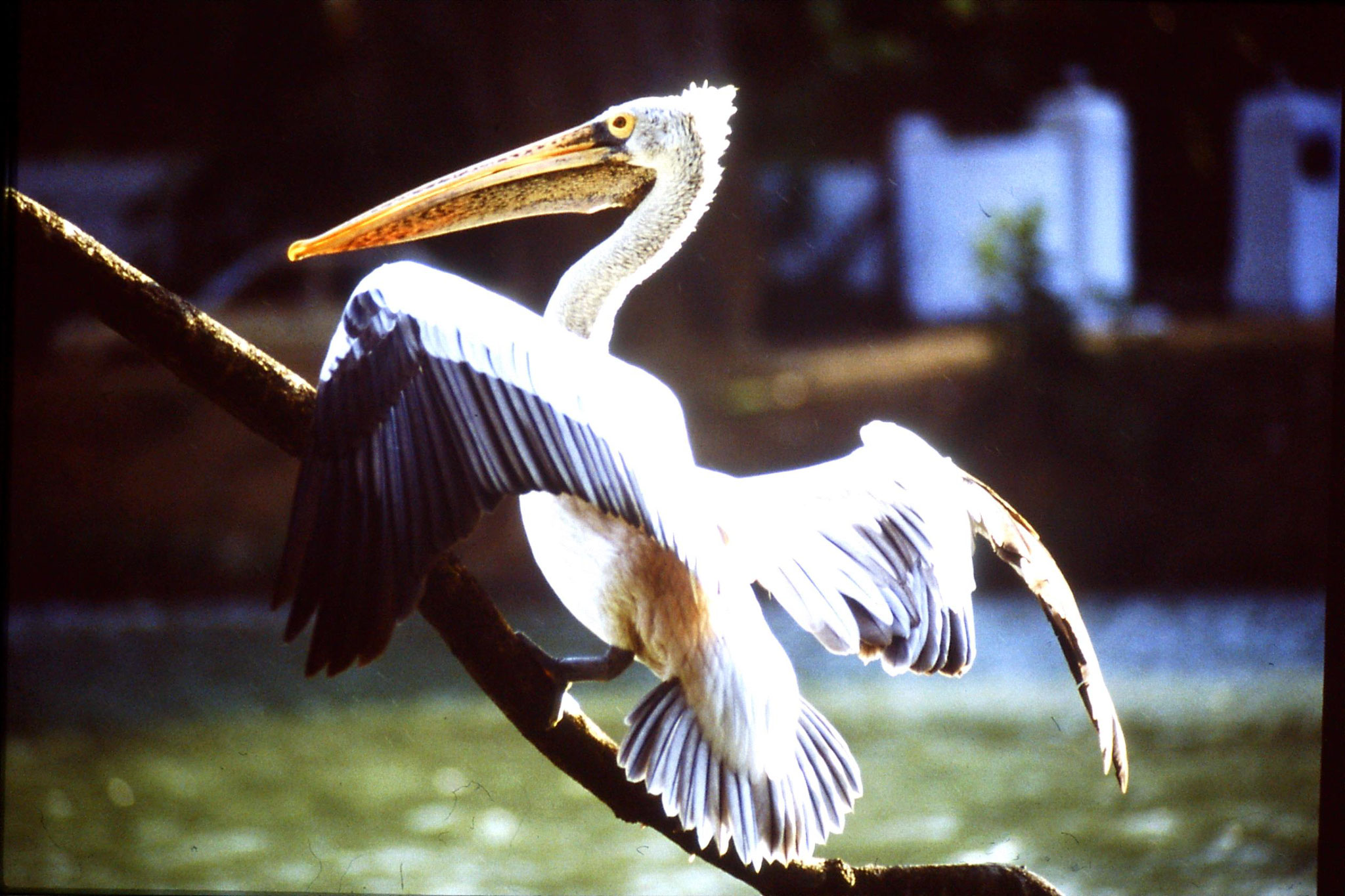4/2/1990: 15: Kandy Lake pelican